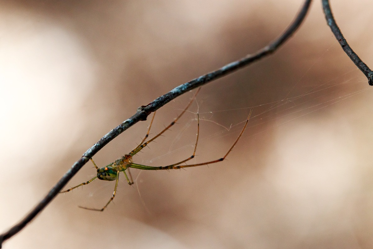 Spider on a Twig by KingRuss