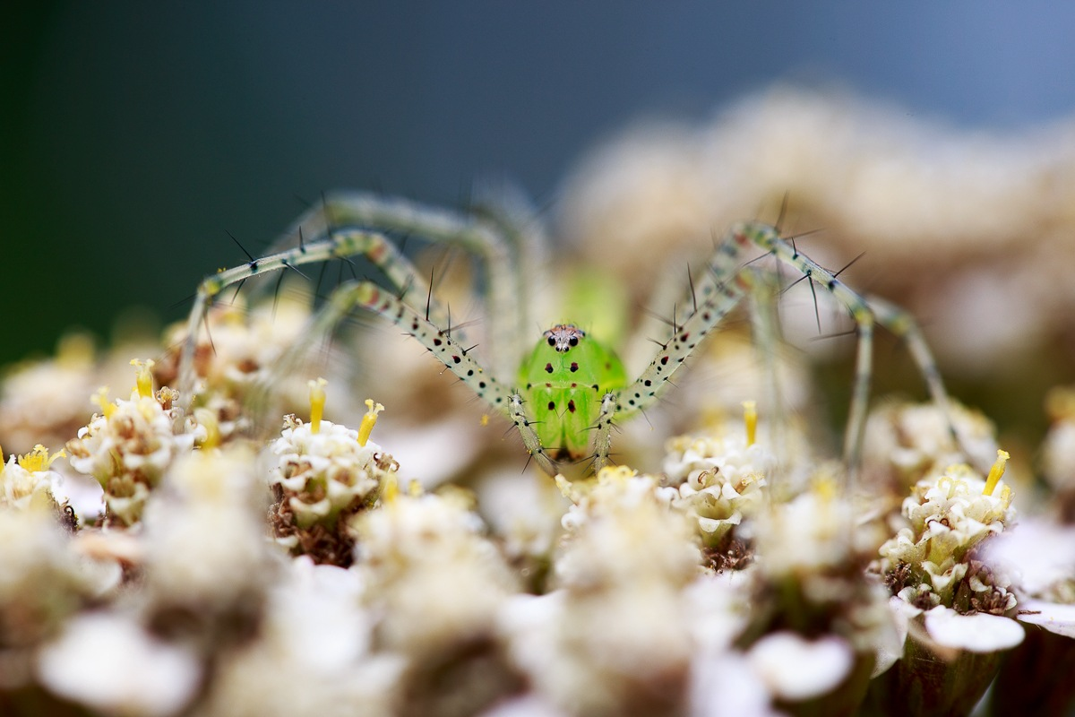 The Green Spider by KingRuss