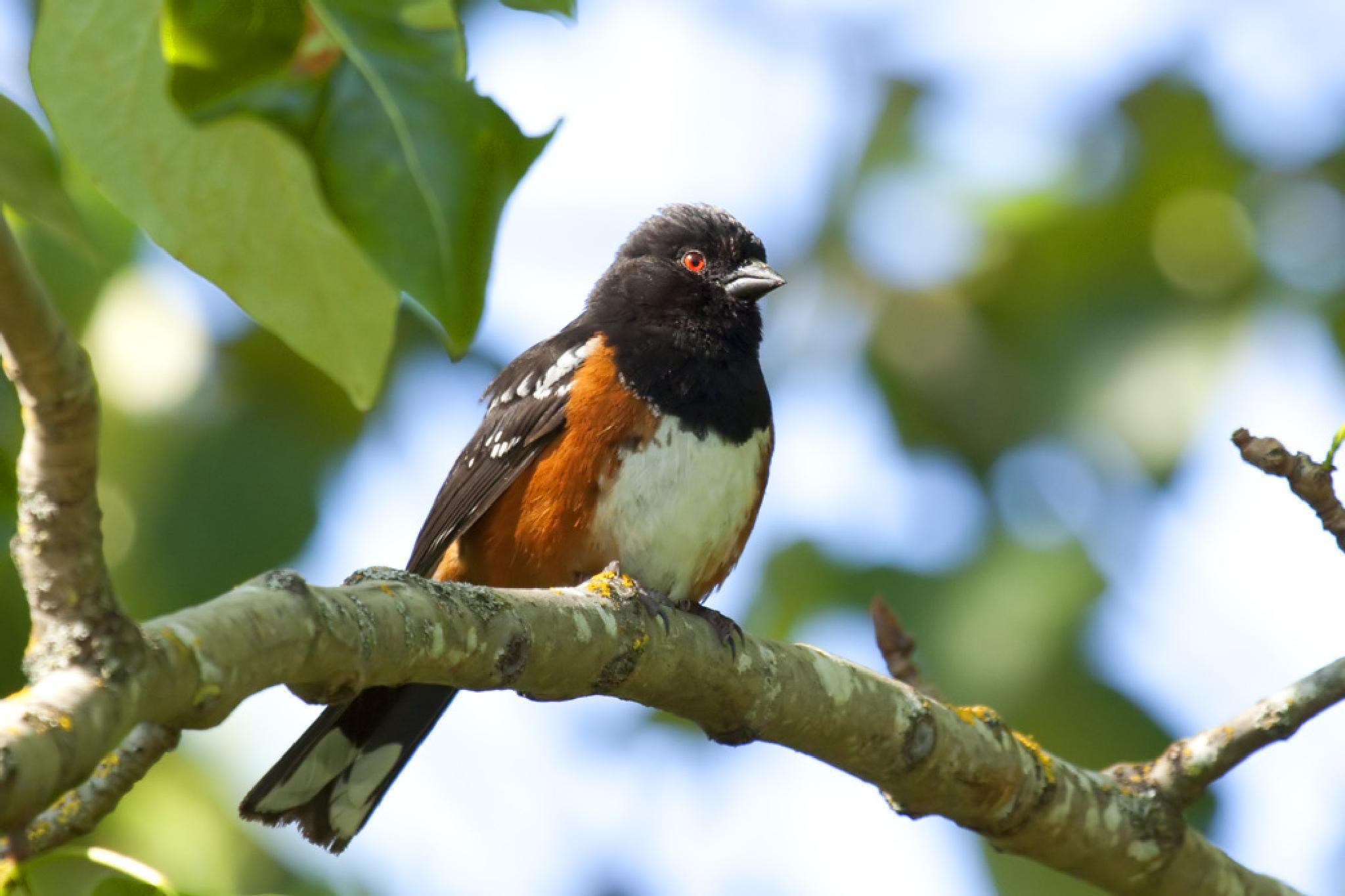 Spotted Towhee by Wags