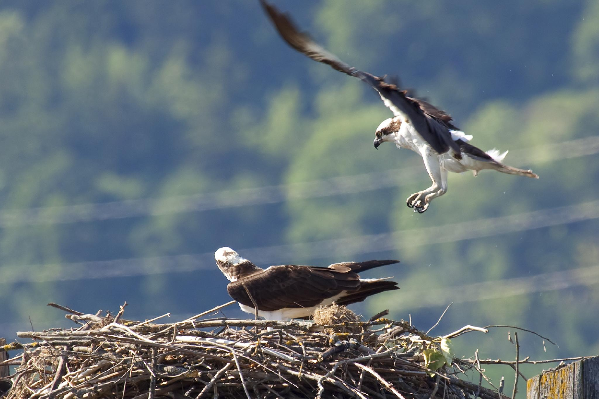 Ospreys by Wags