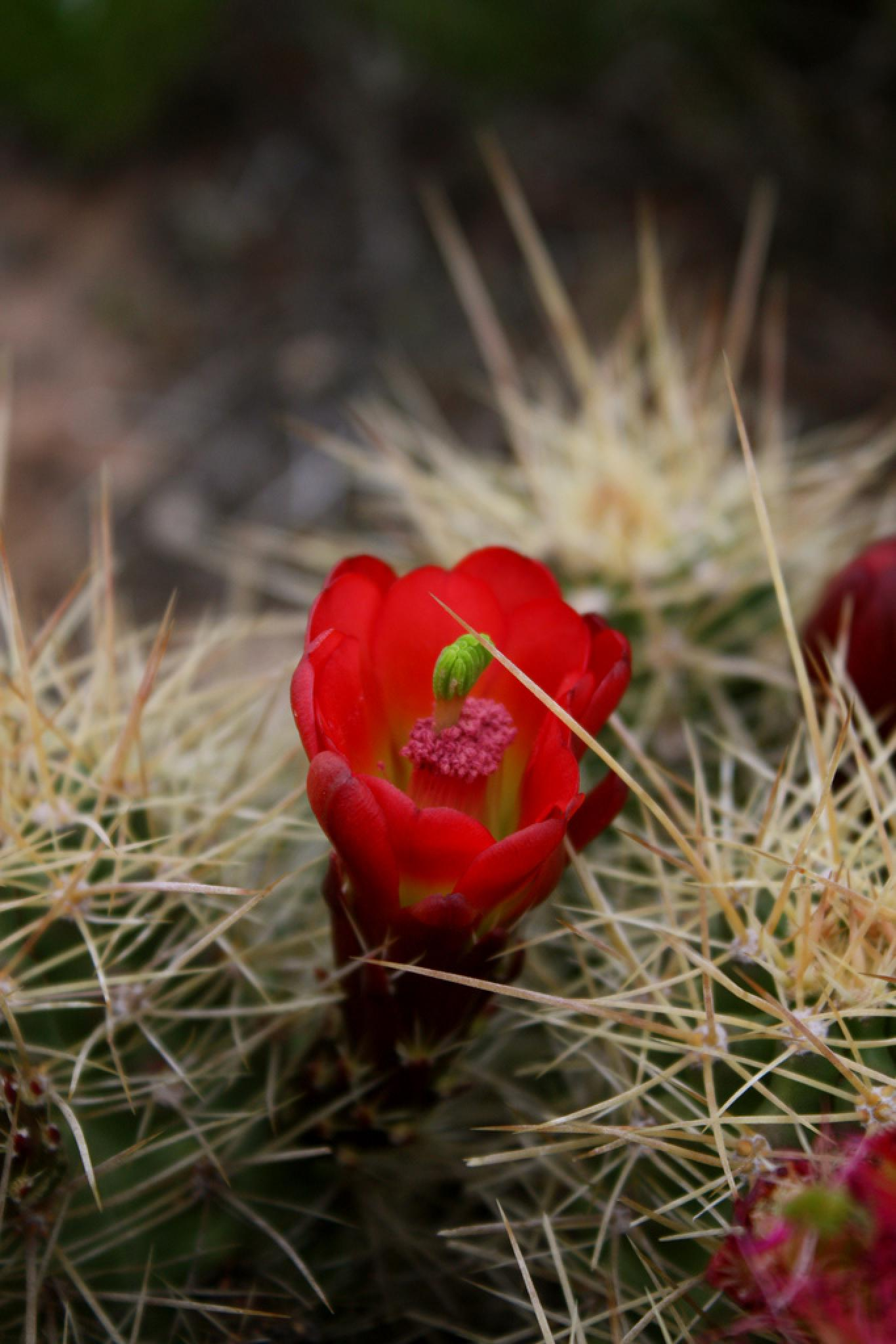 Claret Cup cactus in bloom by Wags