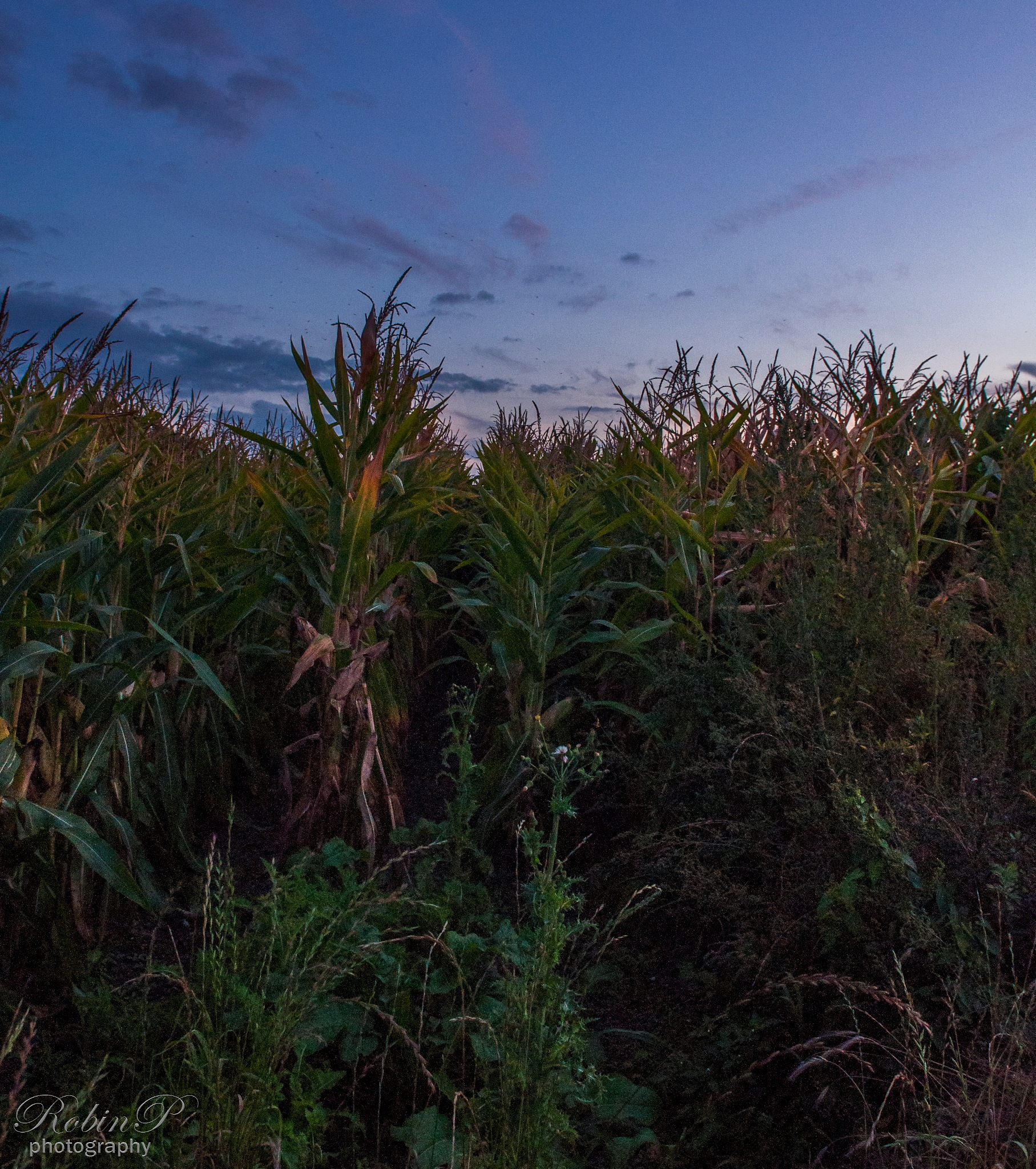 Cornfield in the late eveningsun by Robin Pulles