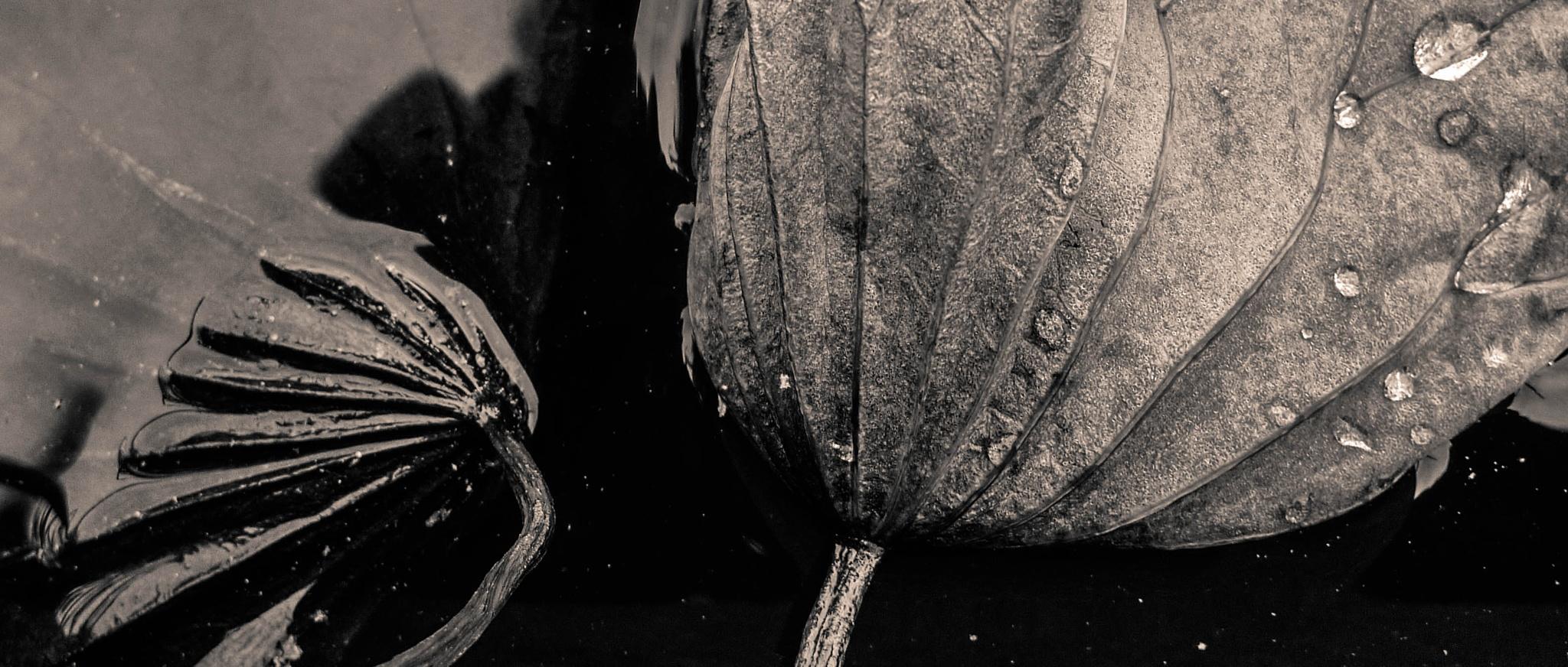 Stilleben mit Lotusblatt V by Stephan Winkler