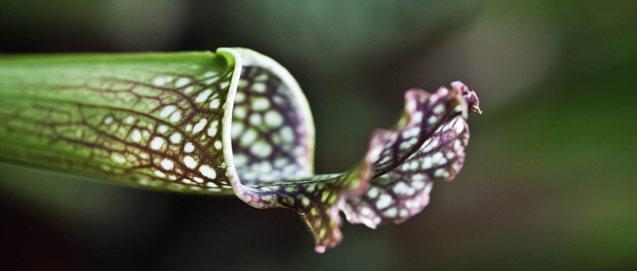 Schlauchpflanze by Stephan Winkler