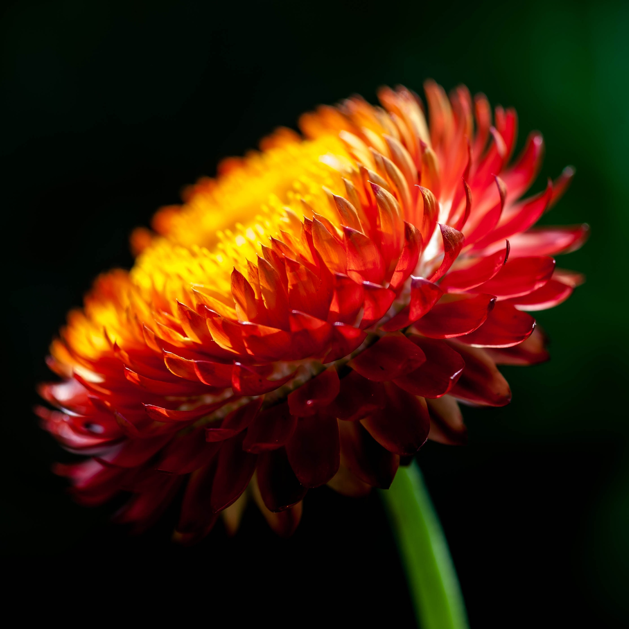 strohblume by Stephan Winkler