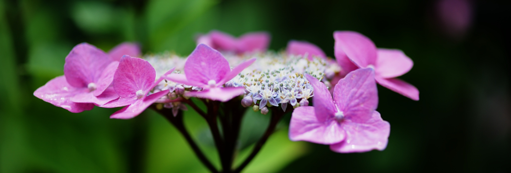 Hortensienblüte by Stephan Winkler