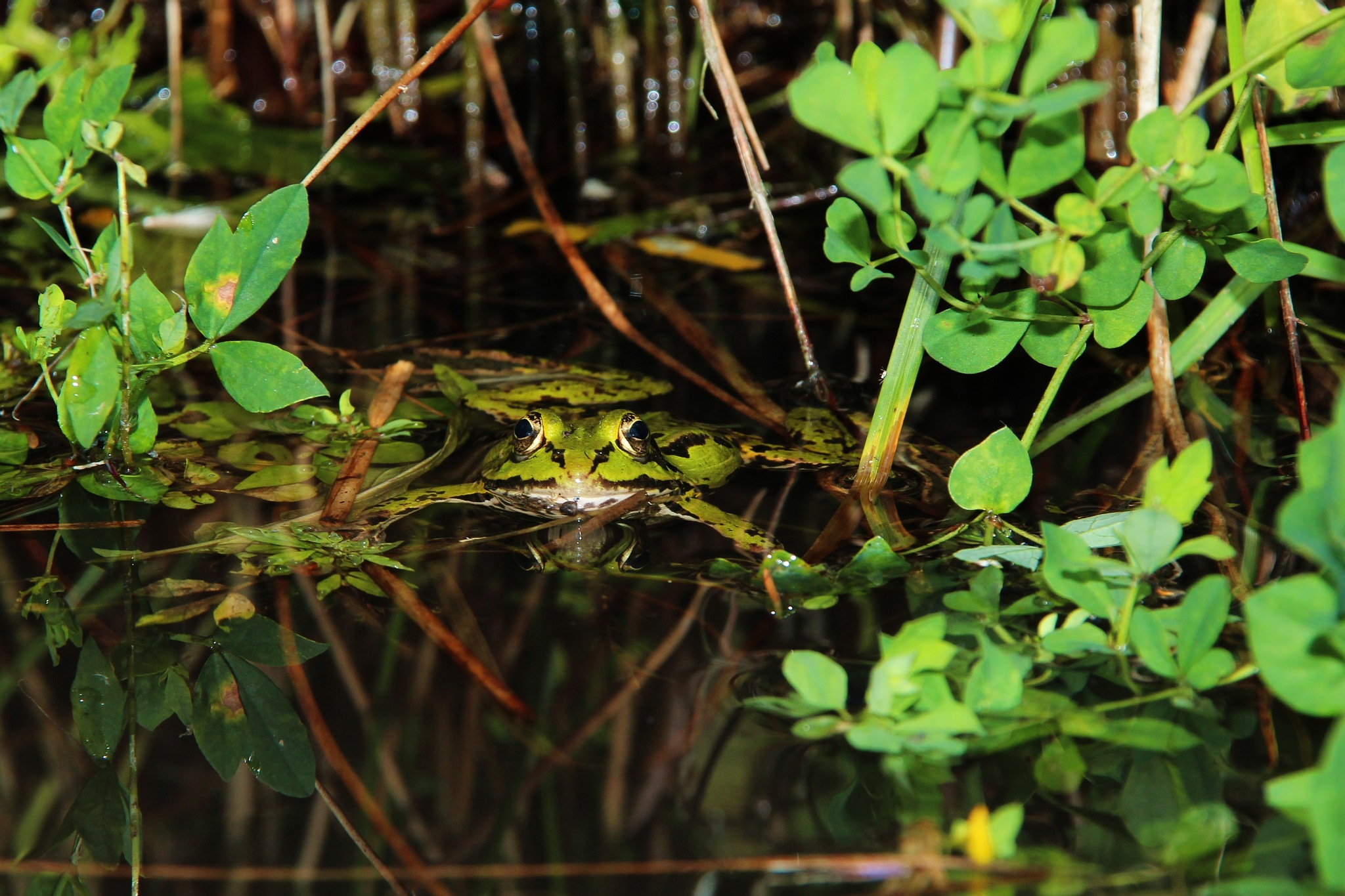 Frog by KarlsPhotos