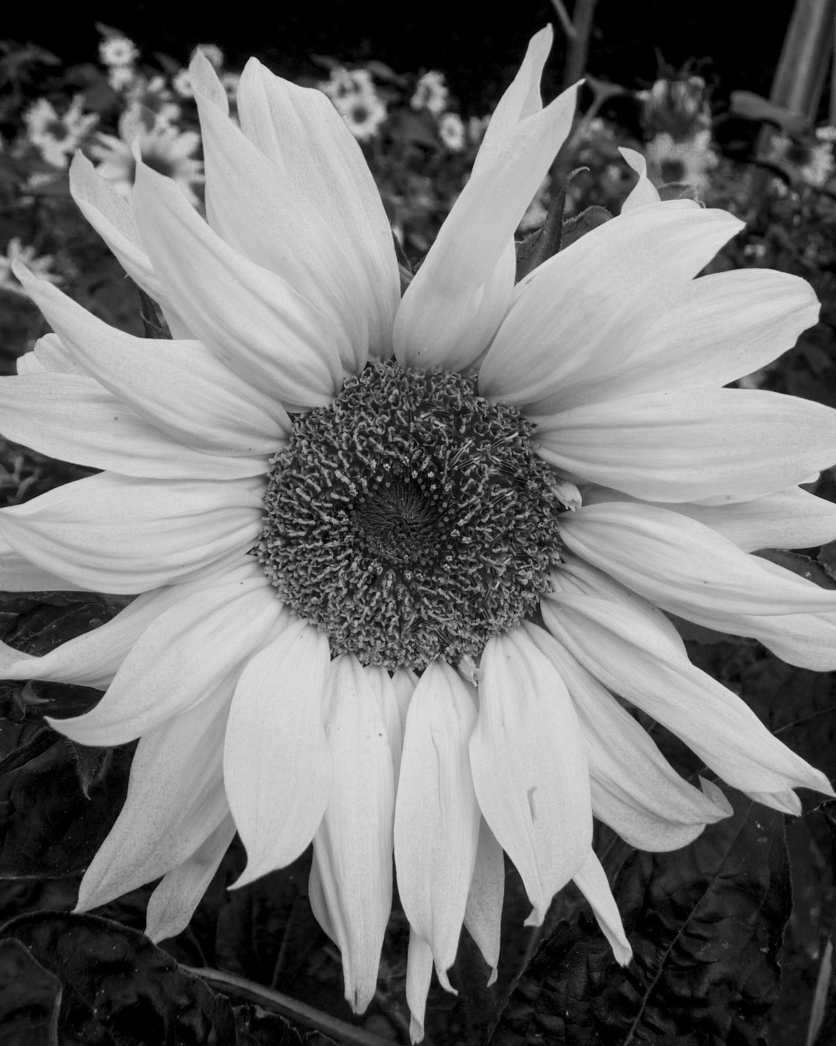 Sunflower by SteveH