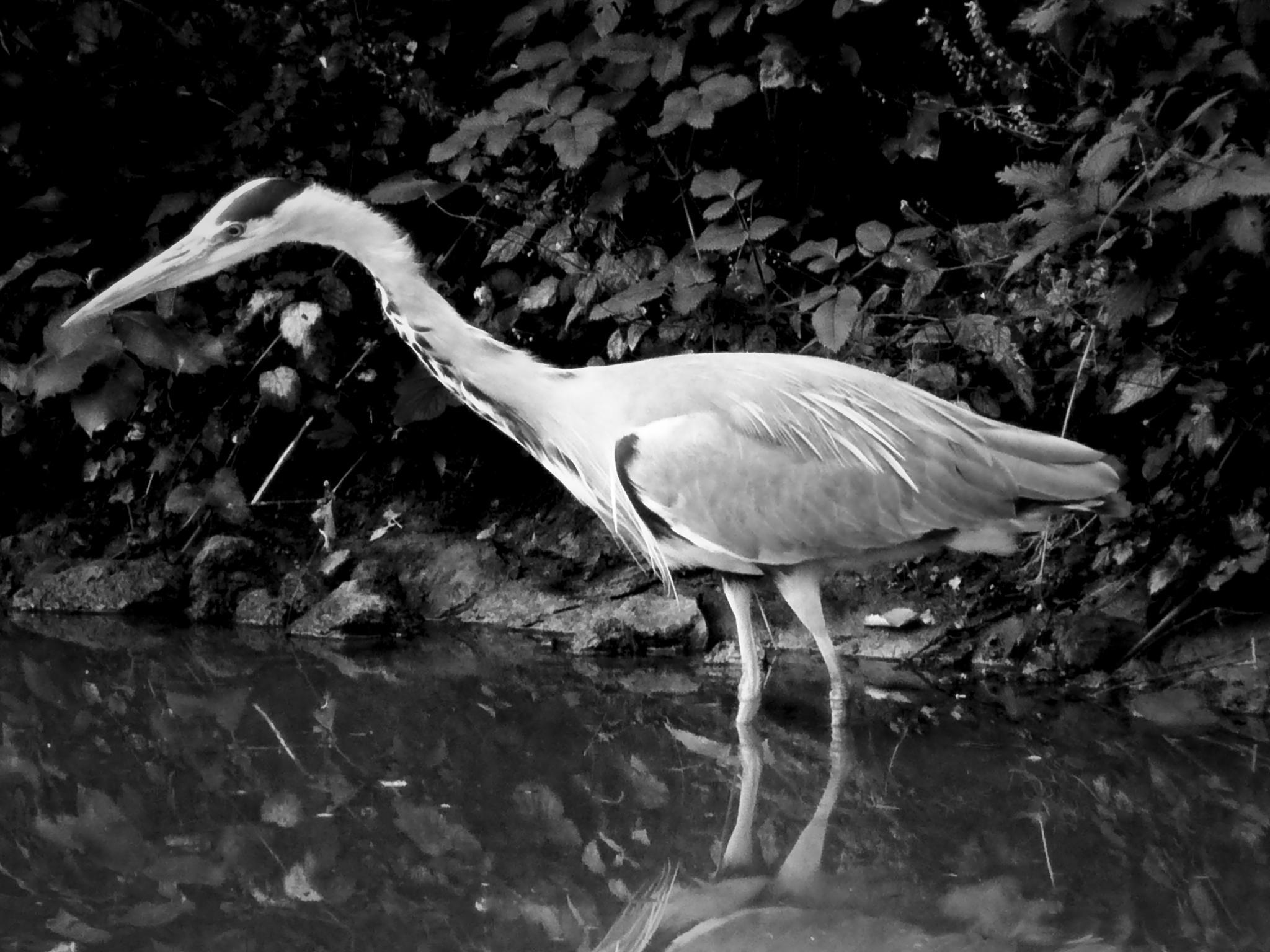 Heron by SteveH