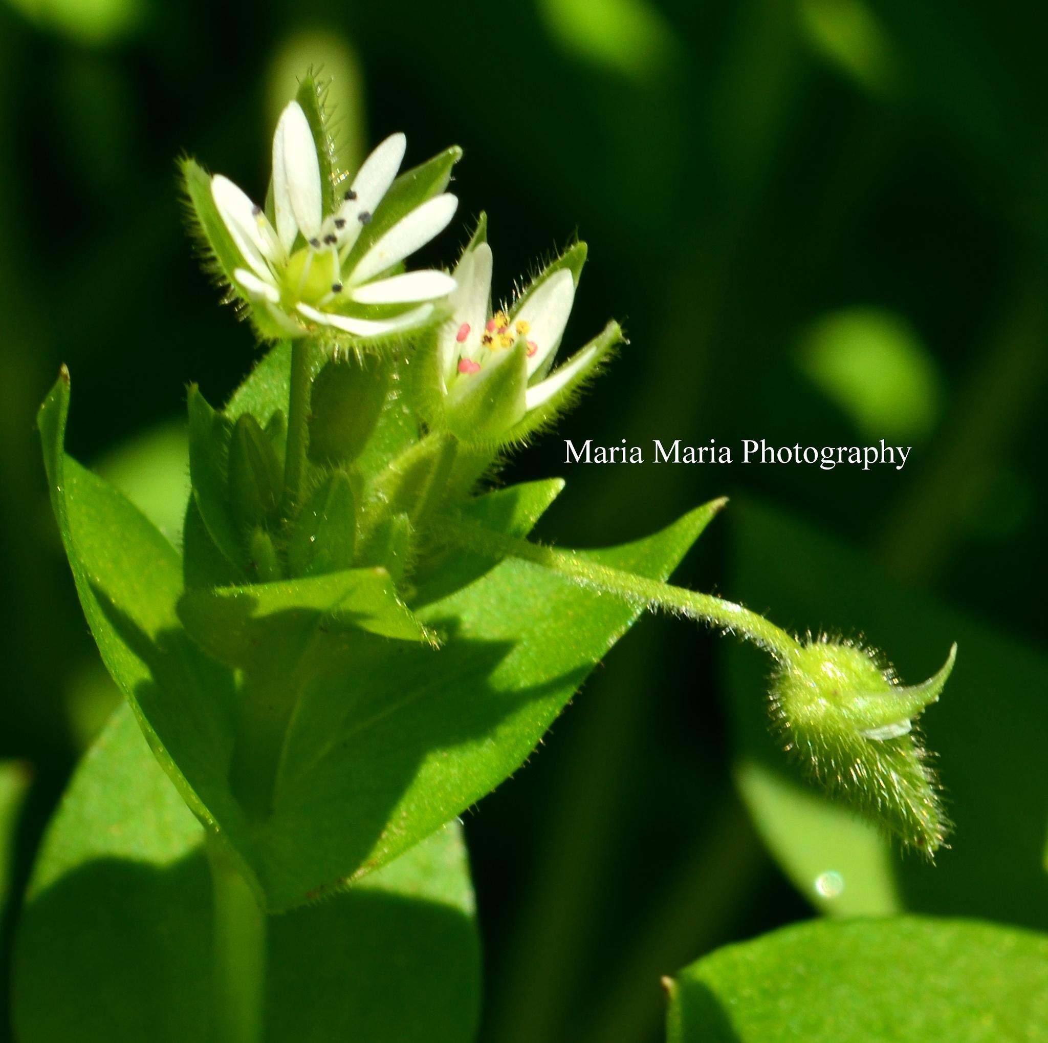 Tiny Tiny Garden Flowers  by Maria Sheffield-Stankiewicz