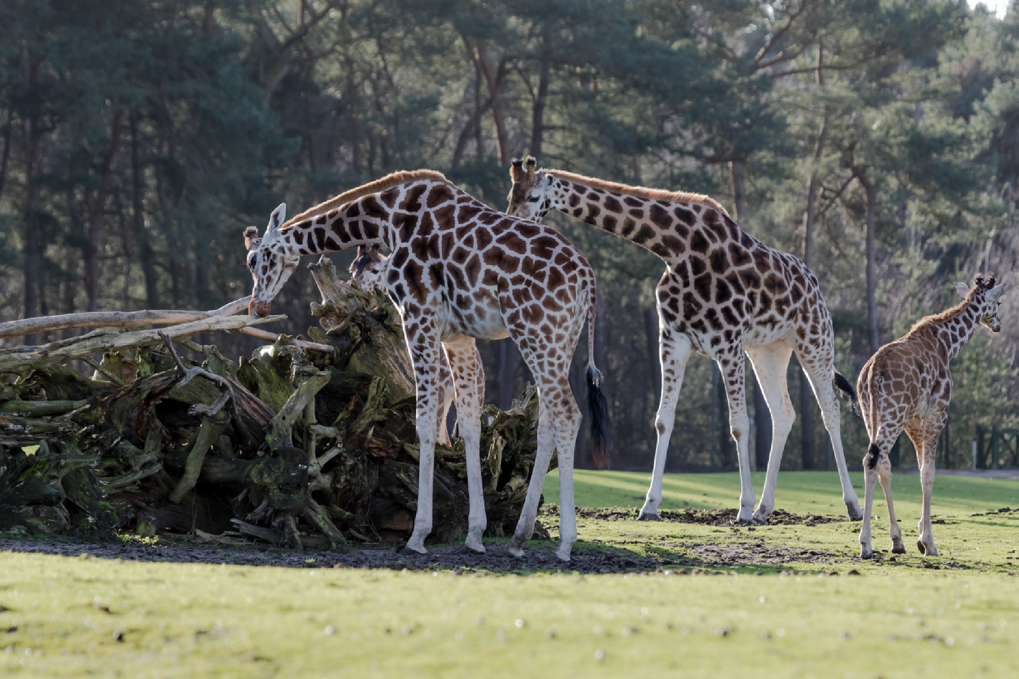 giraffes by Ronny Andries