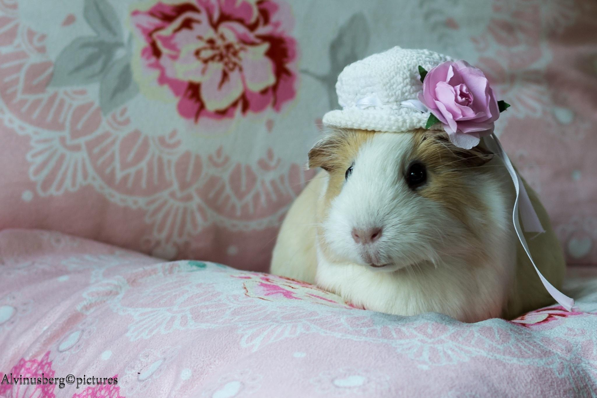 my guinea pig by Ronny Andries