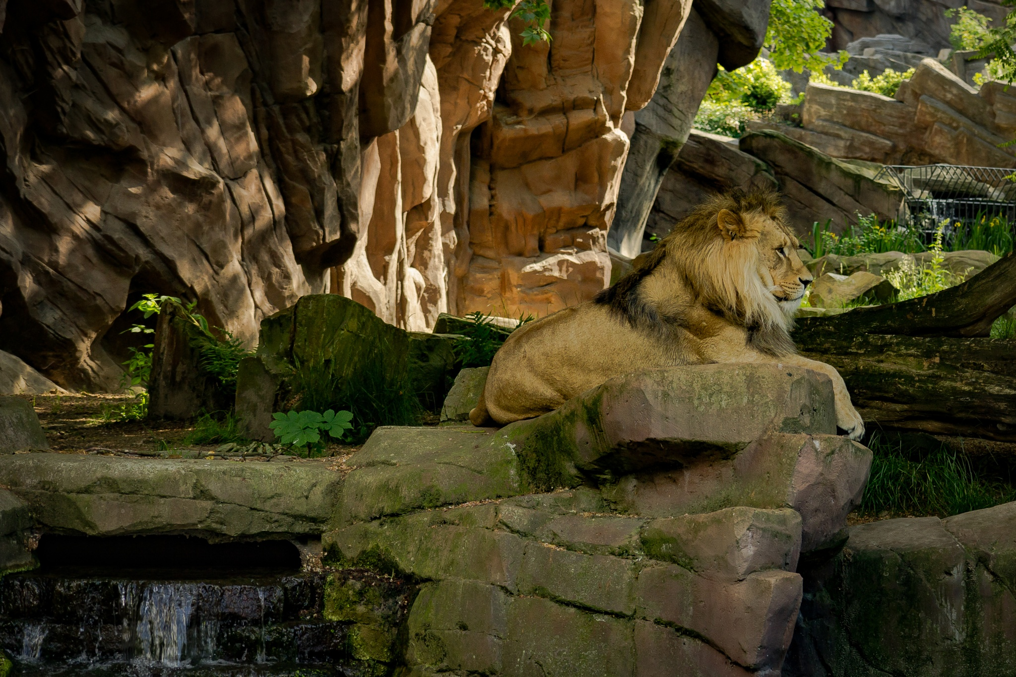 the lion king by Ronny Andries