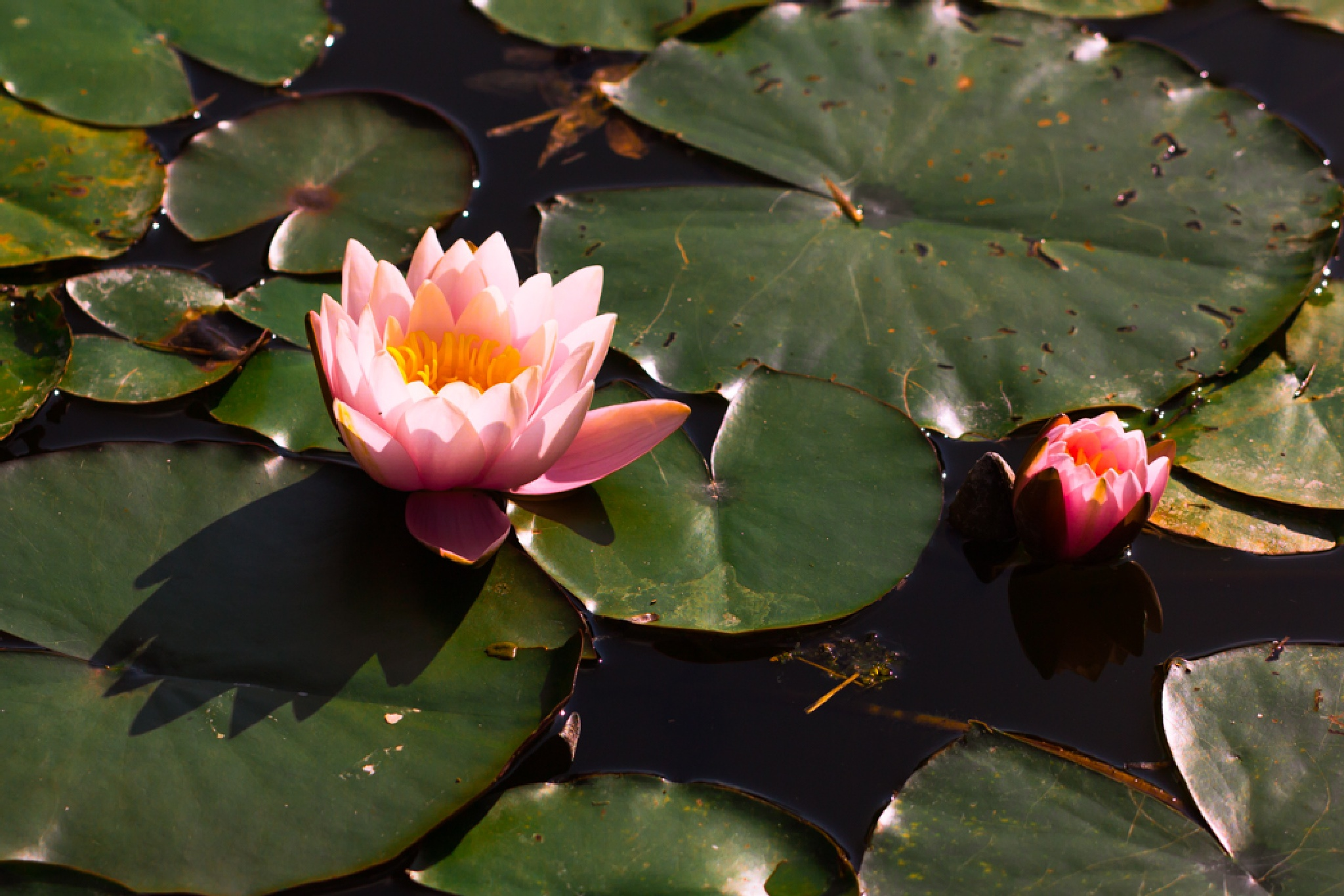 water lilies by Ronny Andries