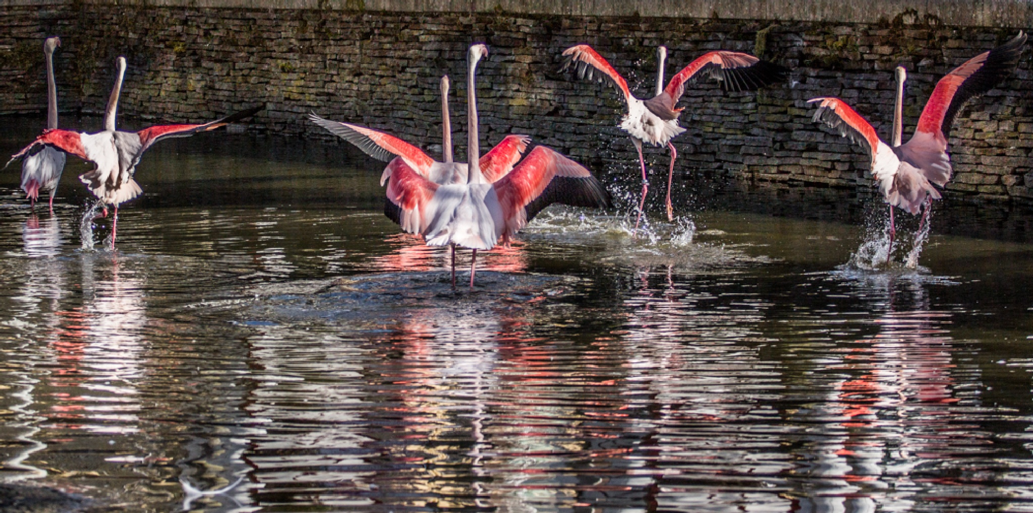 Dancing flamingo's by Ronny Andries