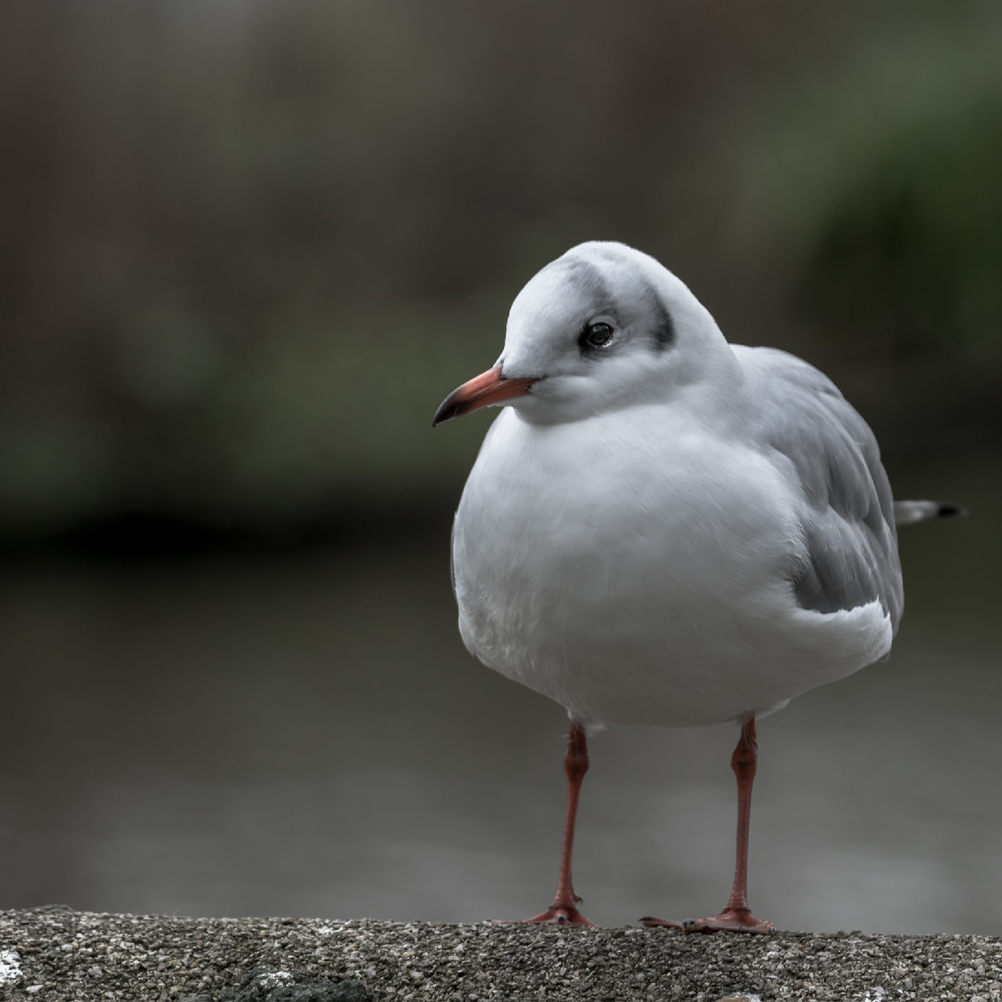 gull by Ronny Andries
