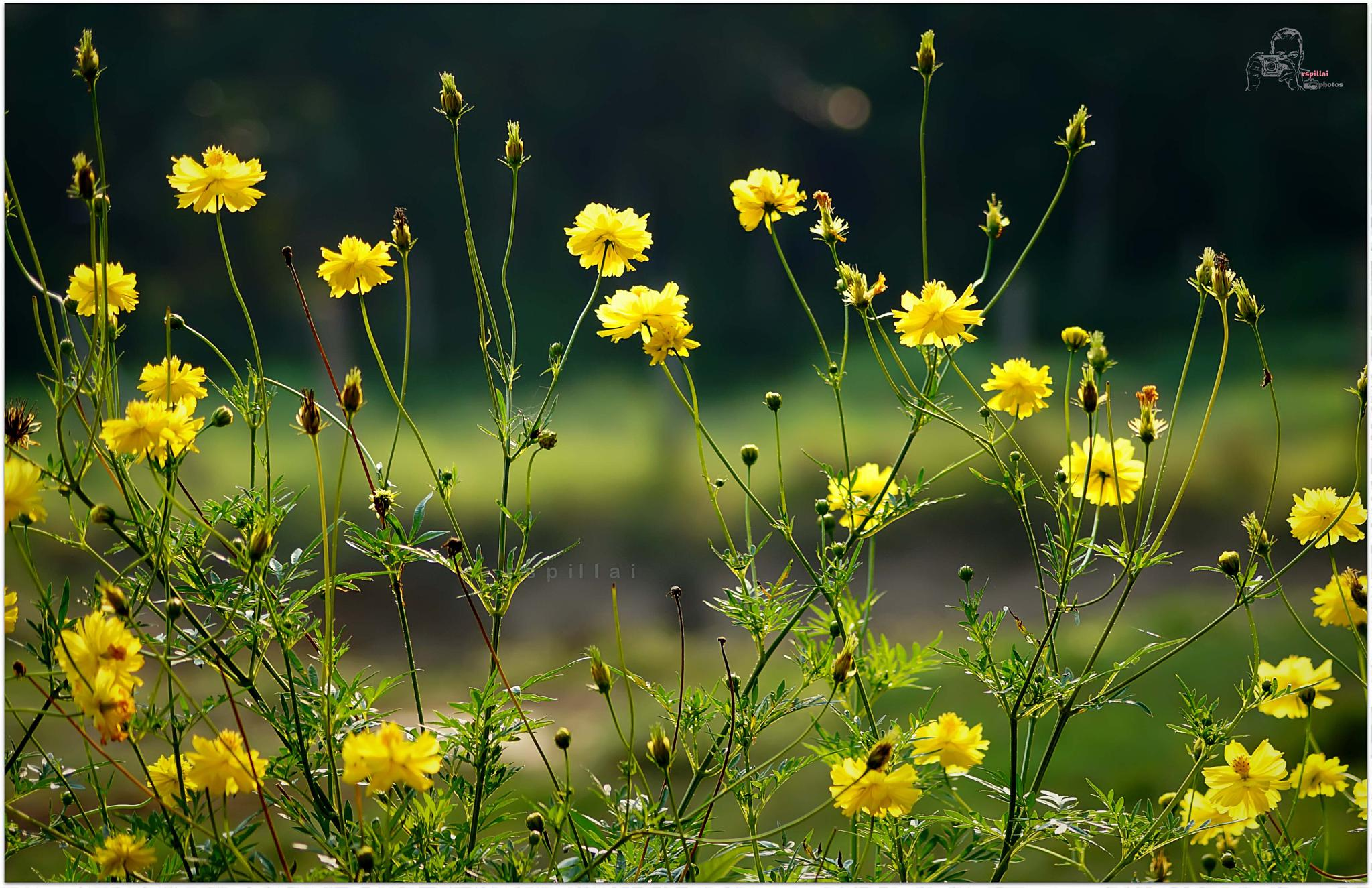 flowers by renjith sreedharan pillai