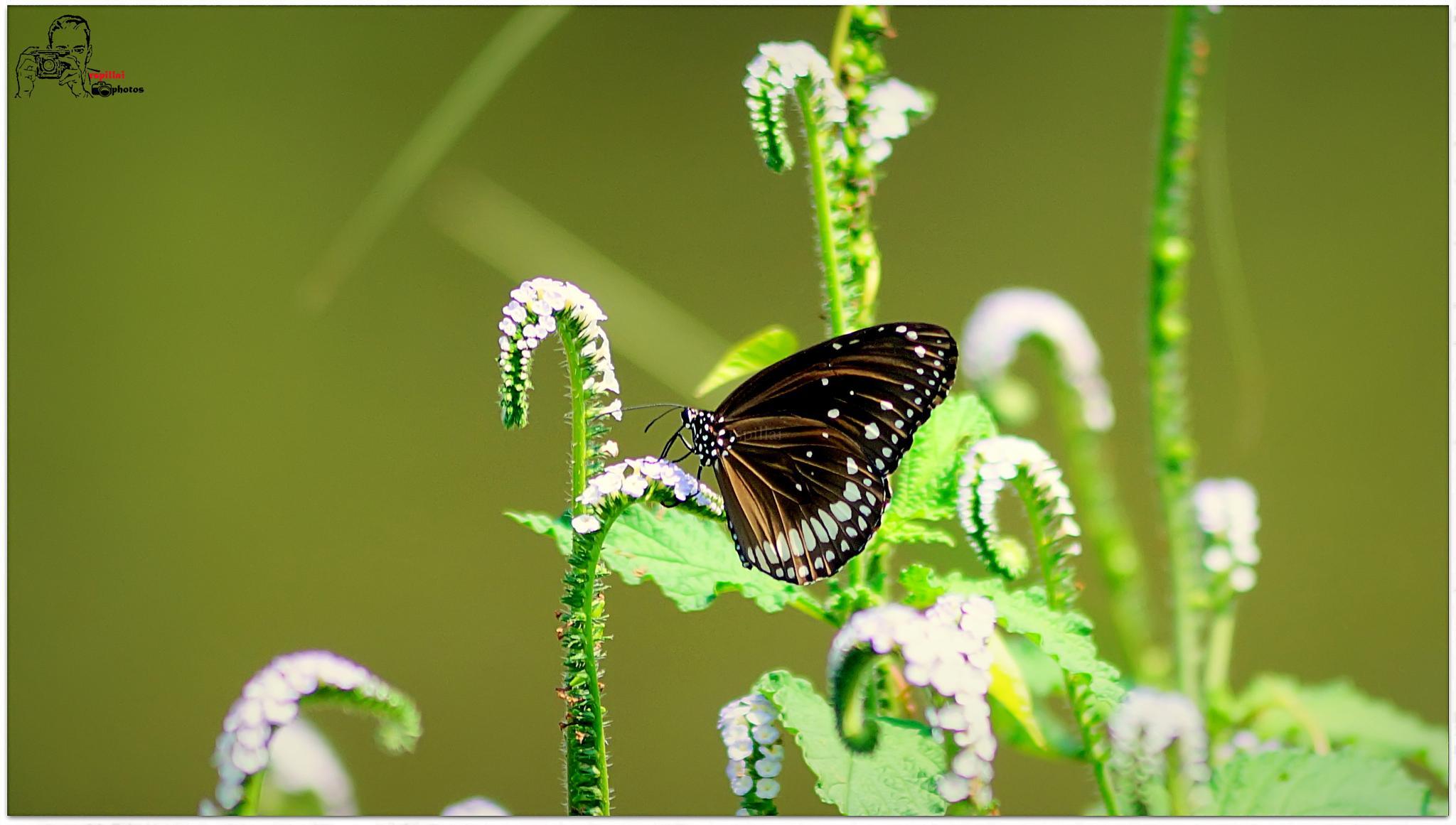 butterfly  by renjith sreedharan pillai