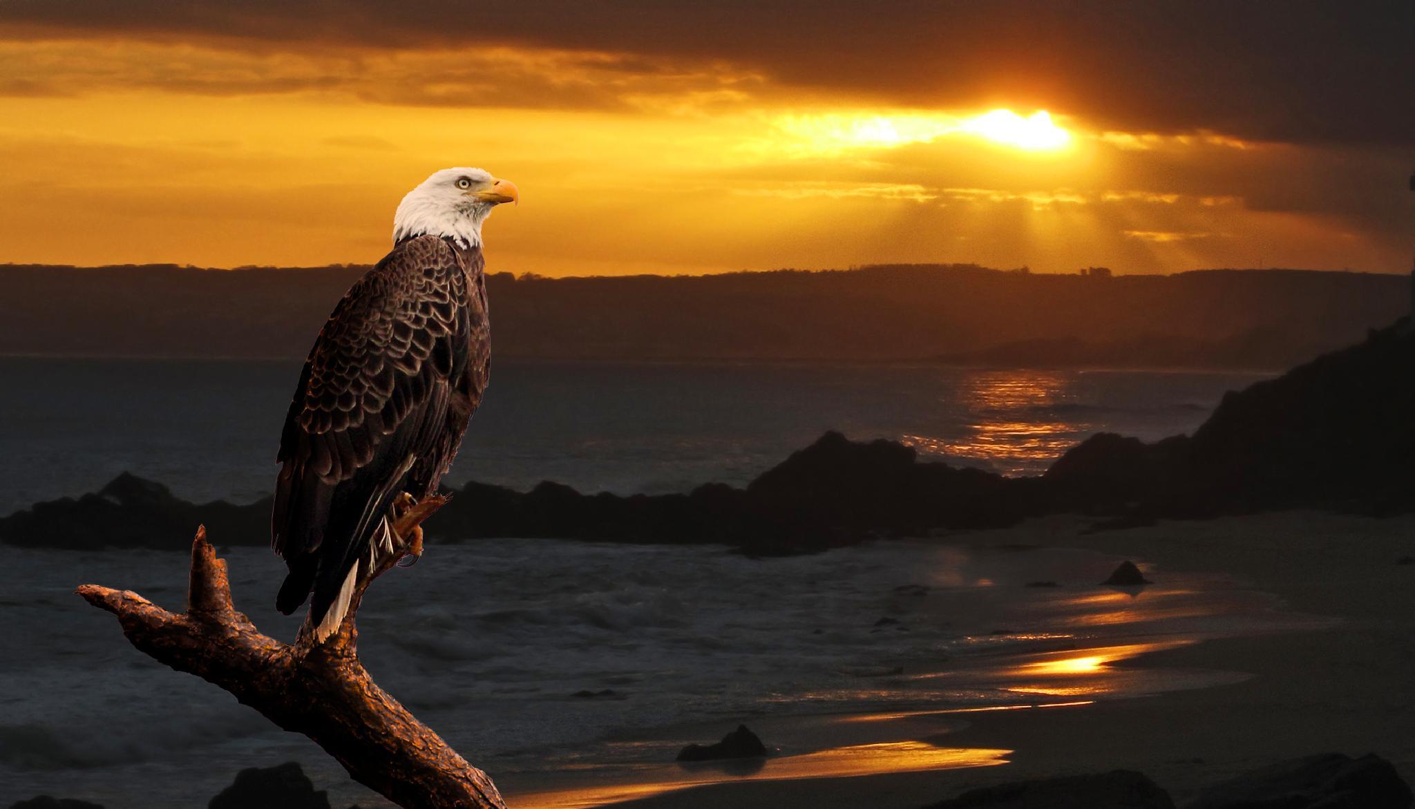 Bald Eagle watching the sun go down. by Jan Versteeg