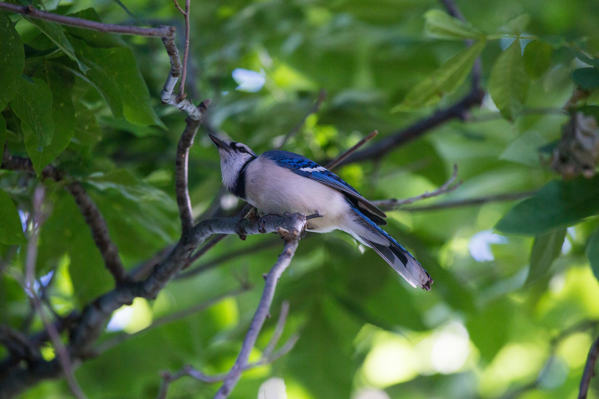momma Blue Jay by Rachel Maher