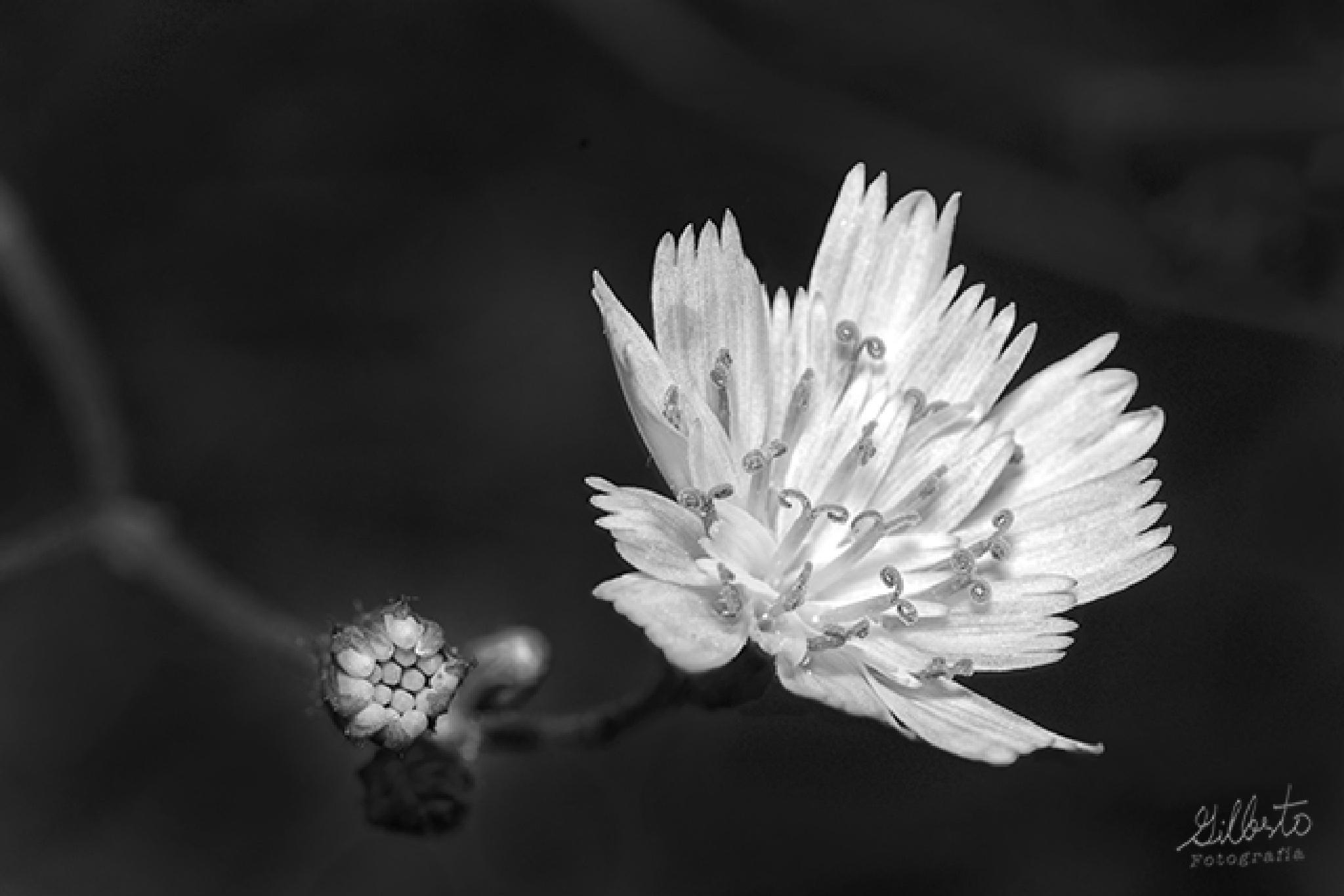 flor blanca by Gilberto Rodriguez Moreno