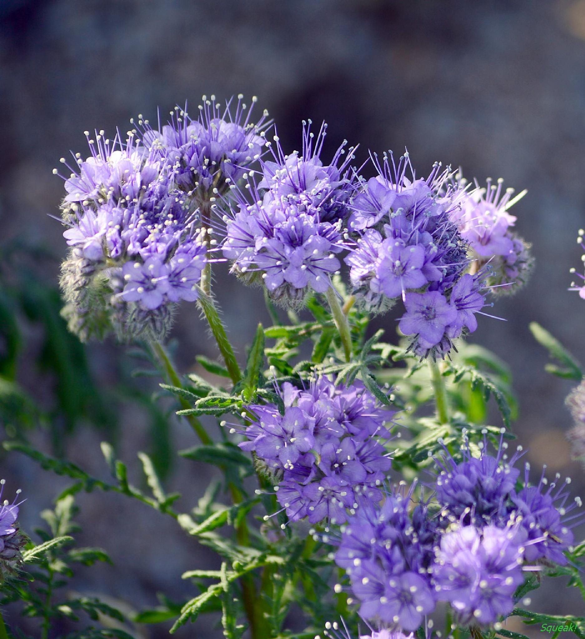 Desert Wildflowers by Squeak!