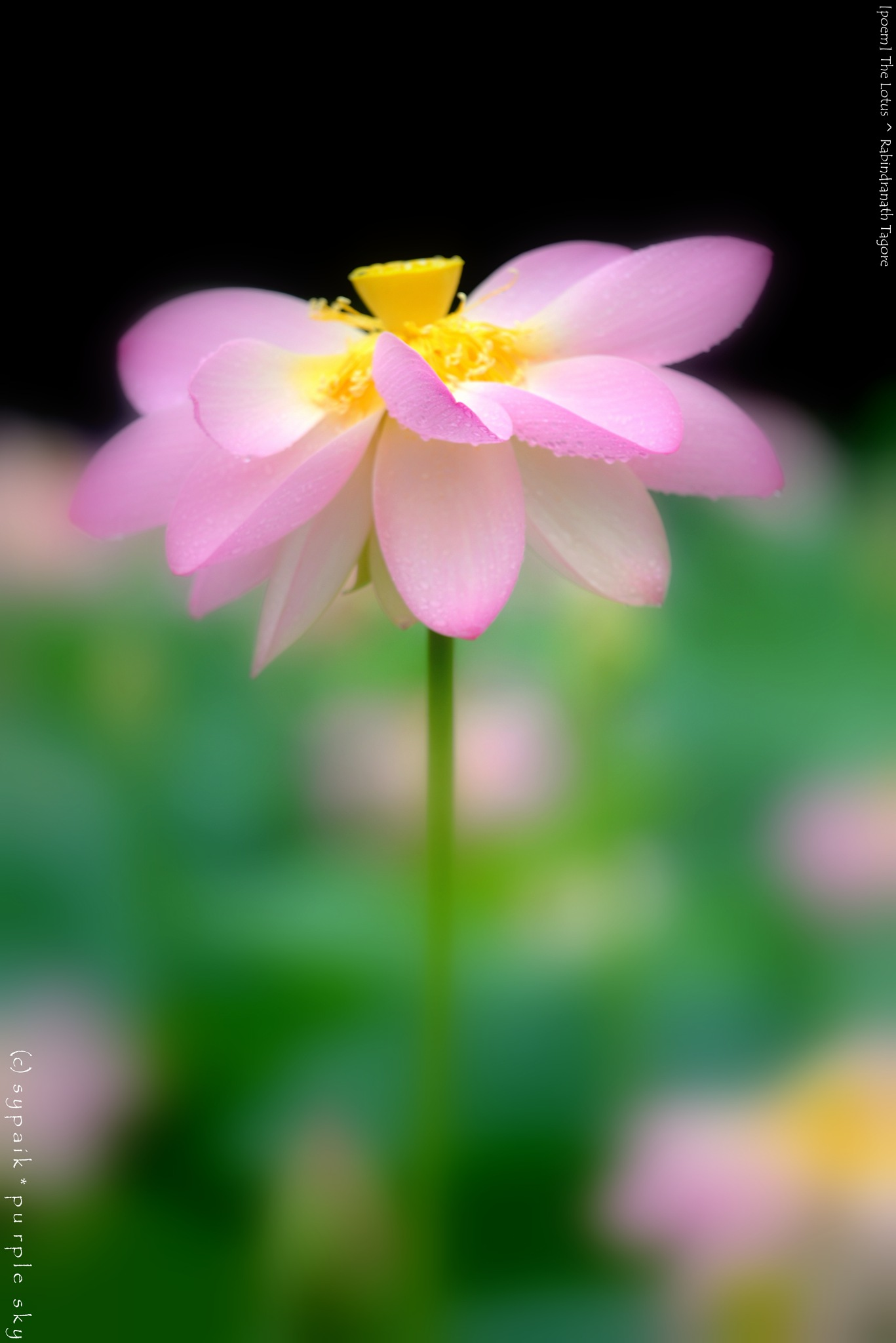 The Lotus ** by sypaik