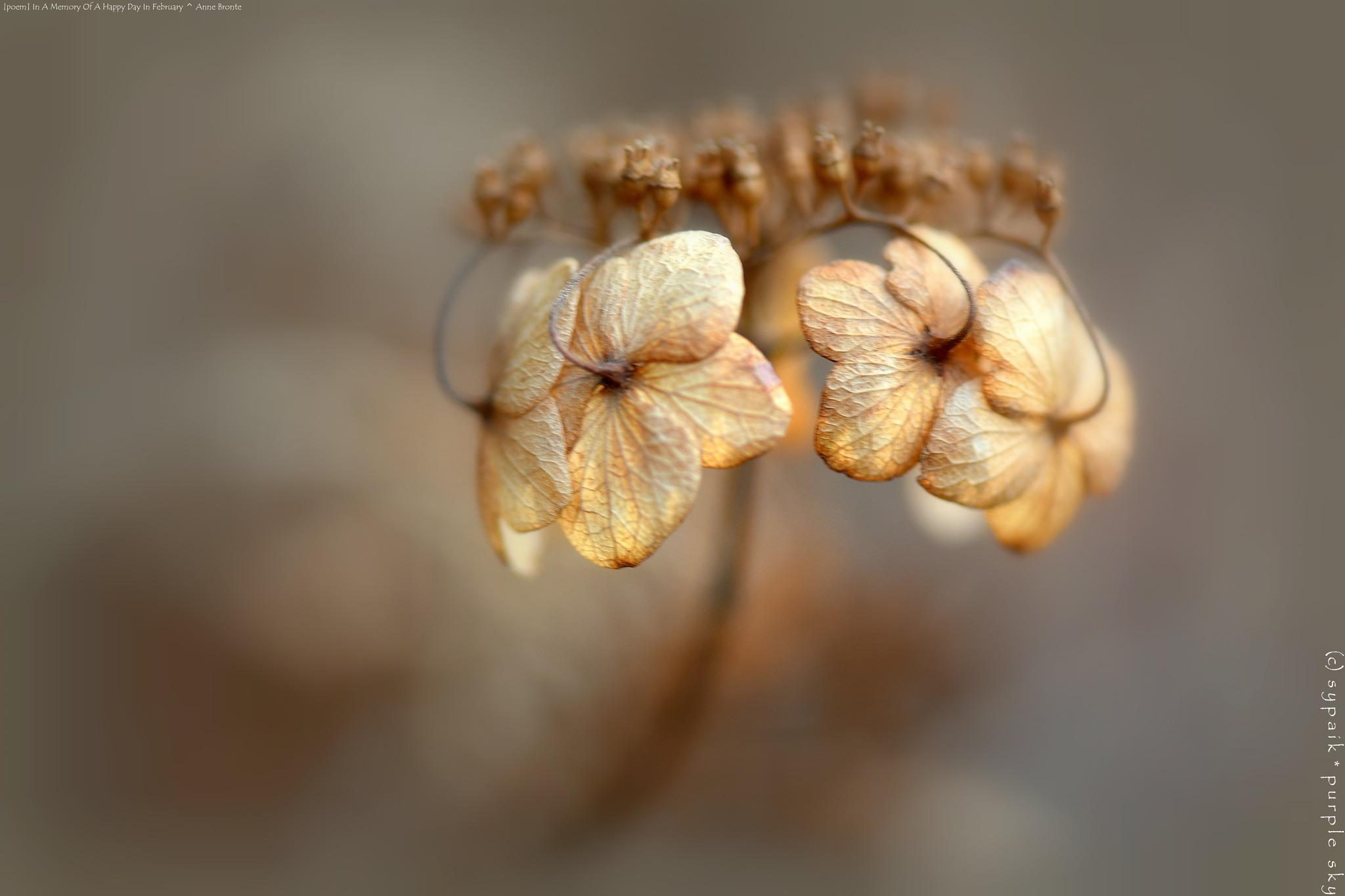Photo in Random #poem by anne brontë #hydrangea #dried plant #nature #macro #closeup #nikon #february