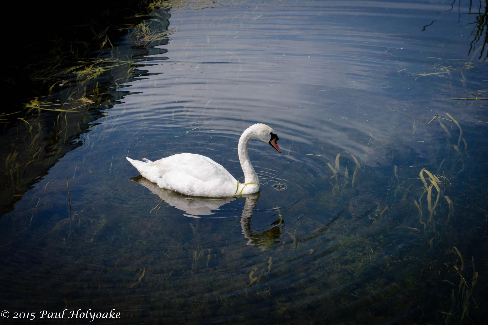 Swan Lake by Photon