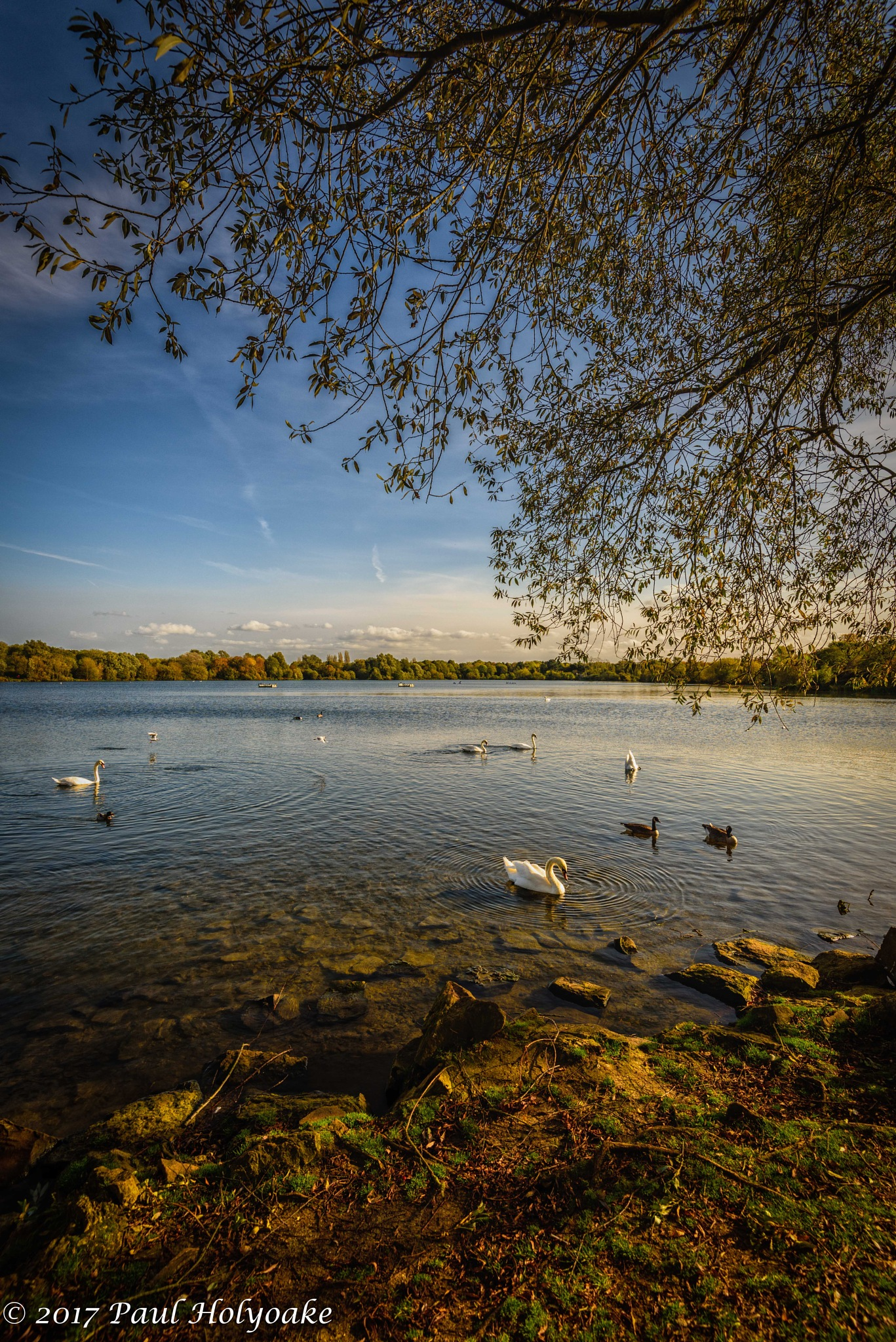 Afternoon Swans by Photon