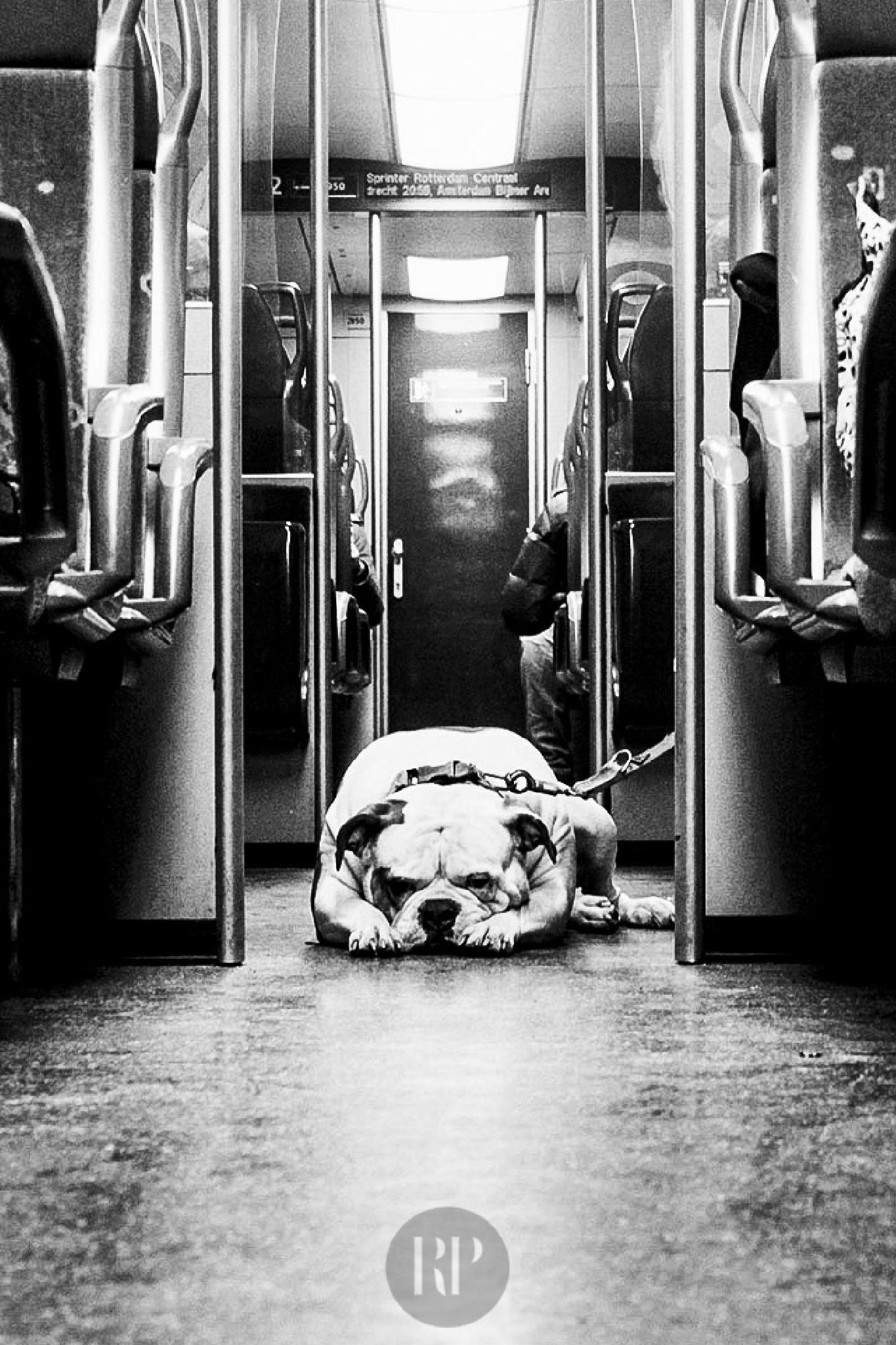 Dog Portrait Series - Bull Dog on a Train by Robynne Peatfield