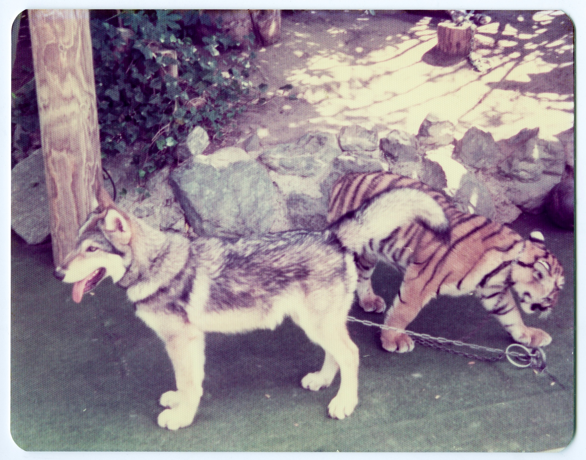 Privately owned tiger tied up with the family dog, 1976 by Martine de Lajudie