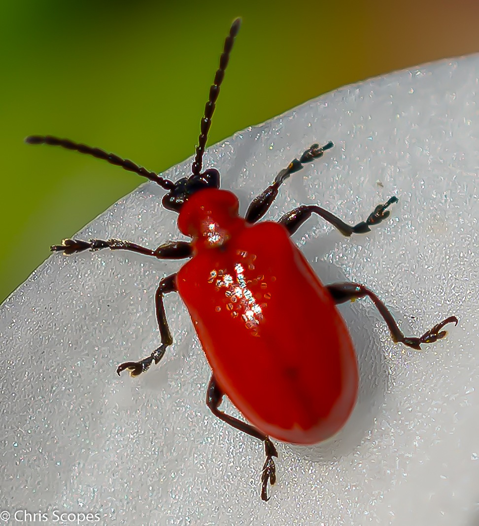 Scarlet Lily Beetle by Chris Scopes