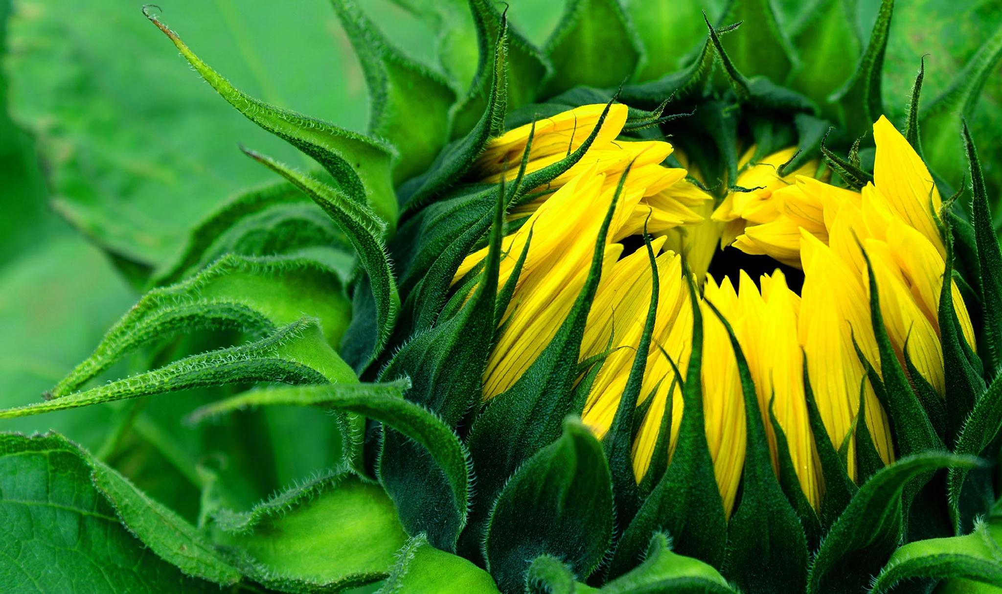 Photo in Macro #sunflowers #macro #nikond610 #flowers #nature