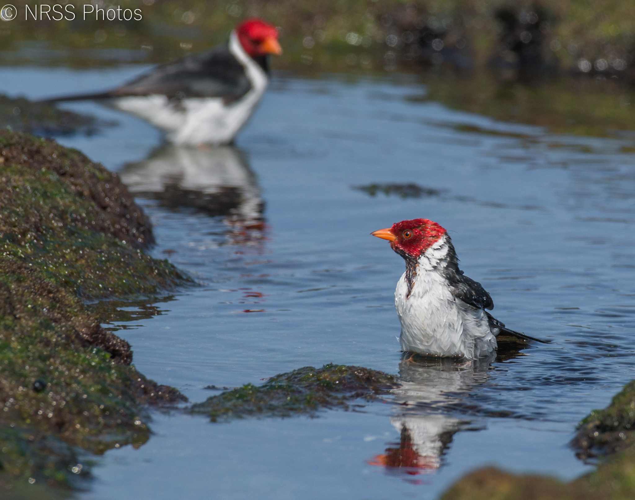 yellow billed cardinal 1 by Chris Smith