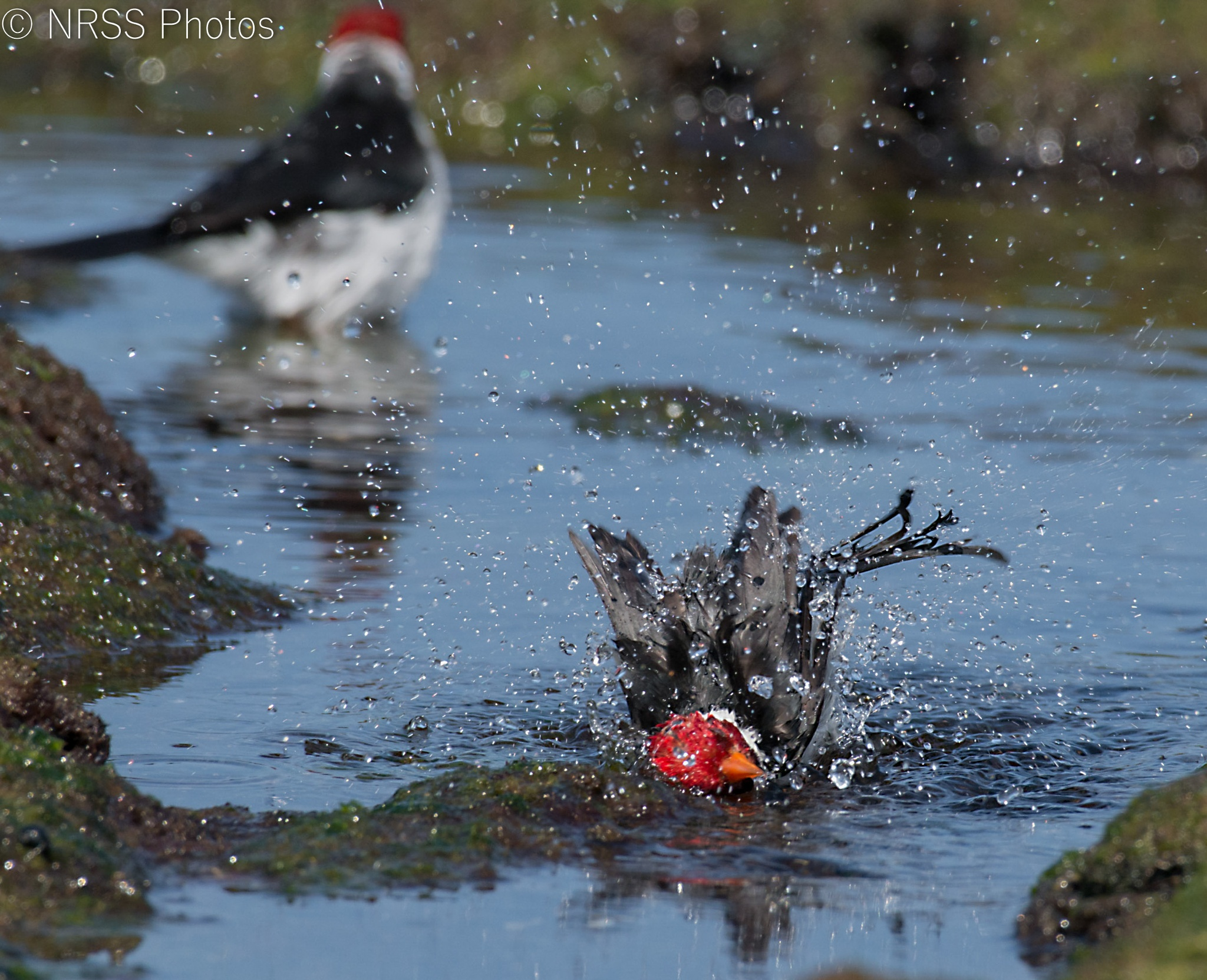 yellow billed cardinal 2 by Chris Smith