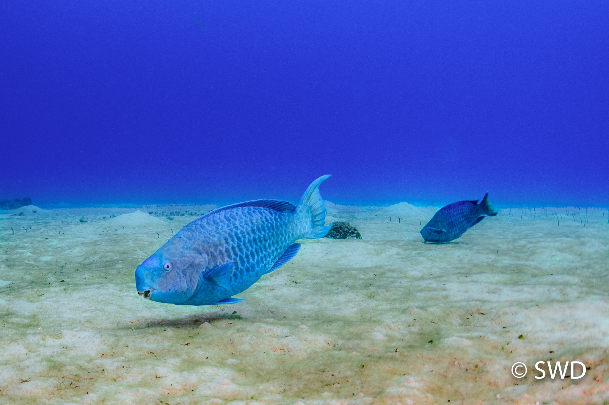 Blue Parrotfish, Grand Cayman by Steve Director