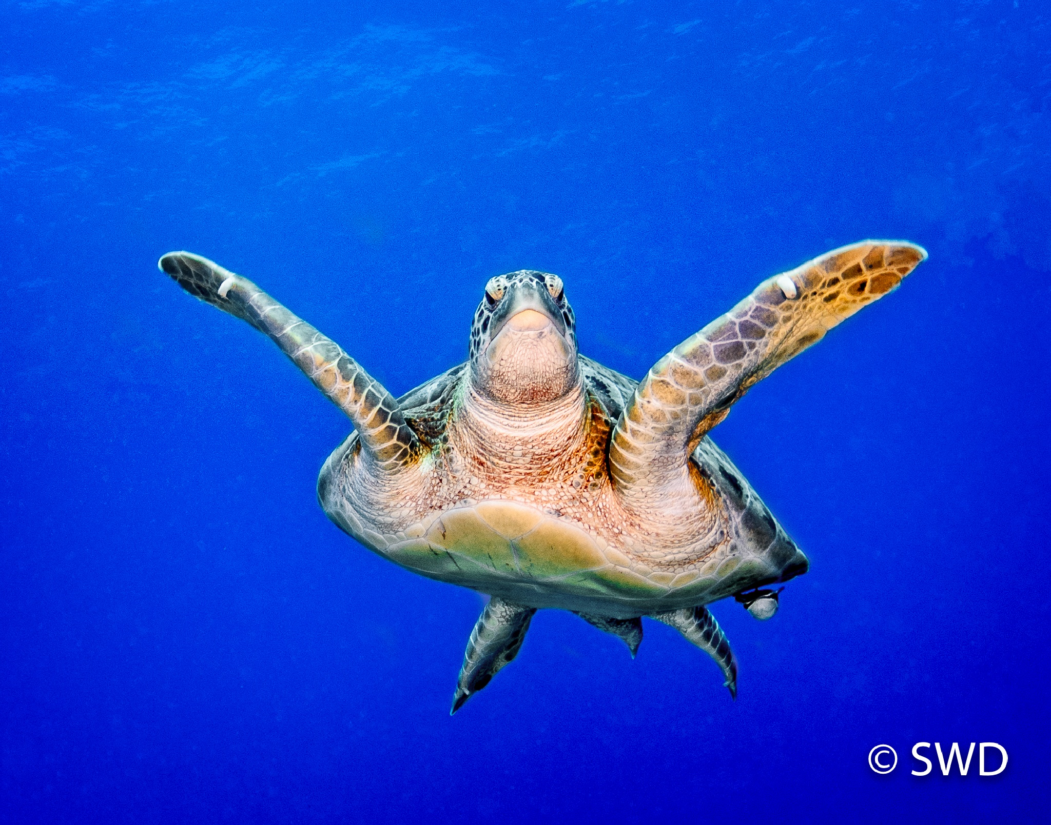Green Turtle swimming off of Grand Cayman by Steve Director