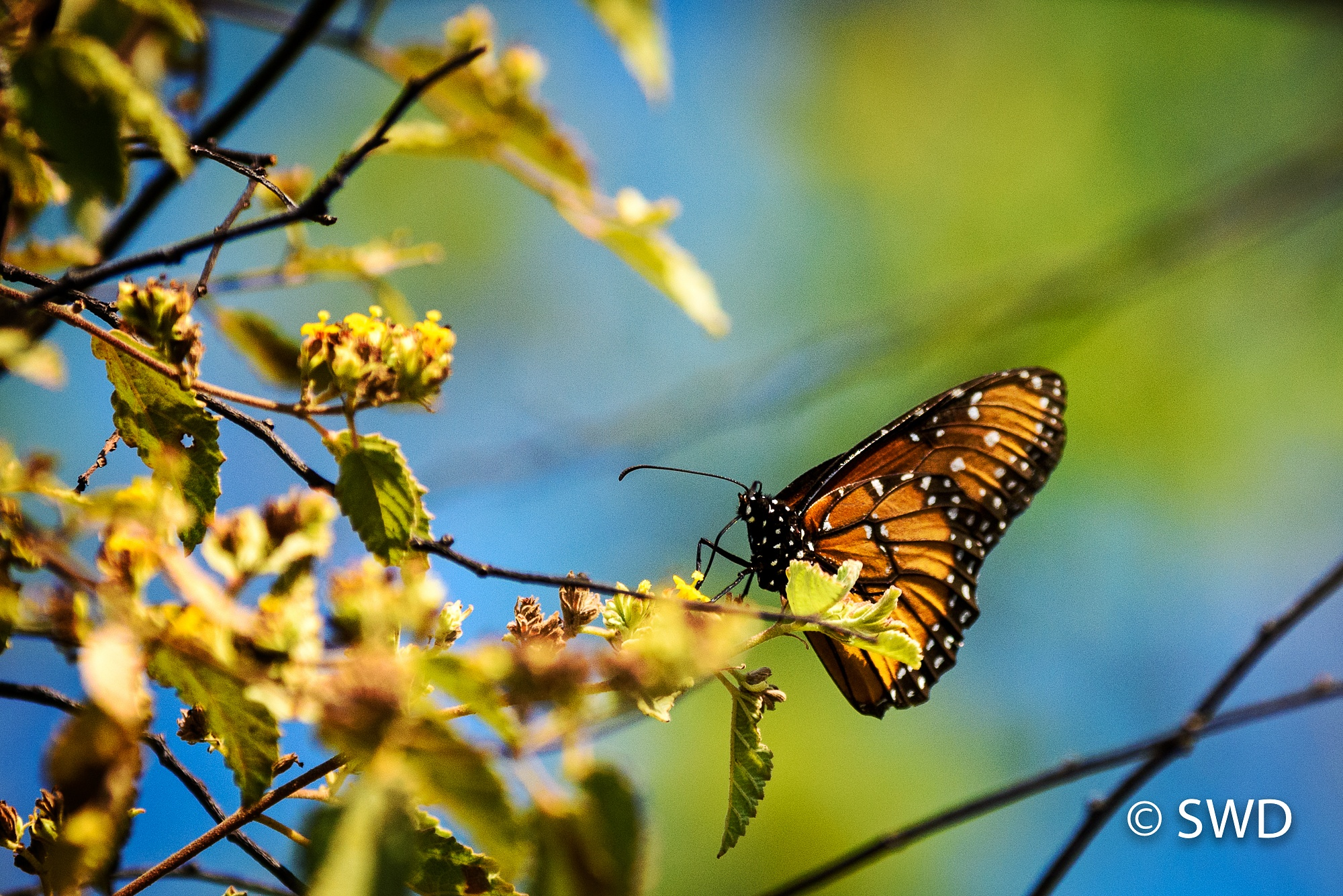 Monarch Butterfly, Galapagos by Steve Director