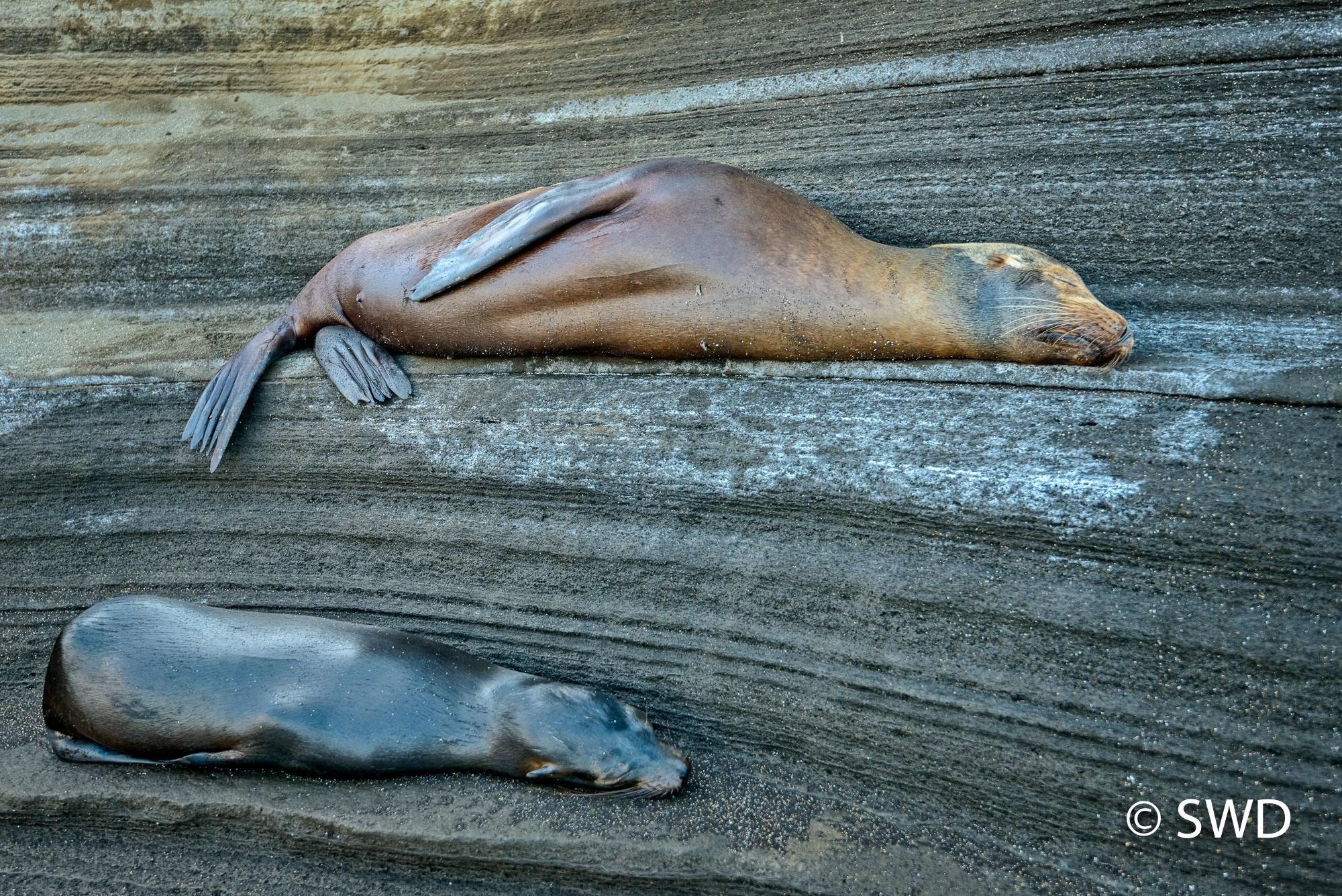 Photo in Nature #galapagos #nature #santiago island #sea lions
