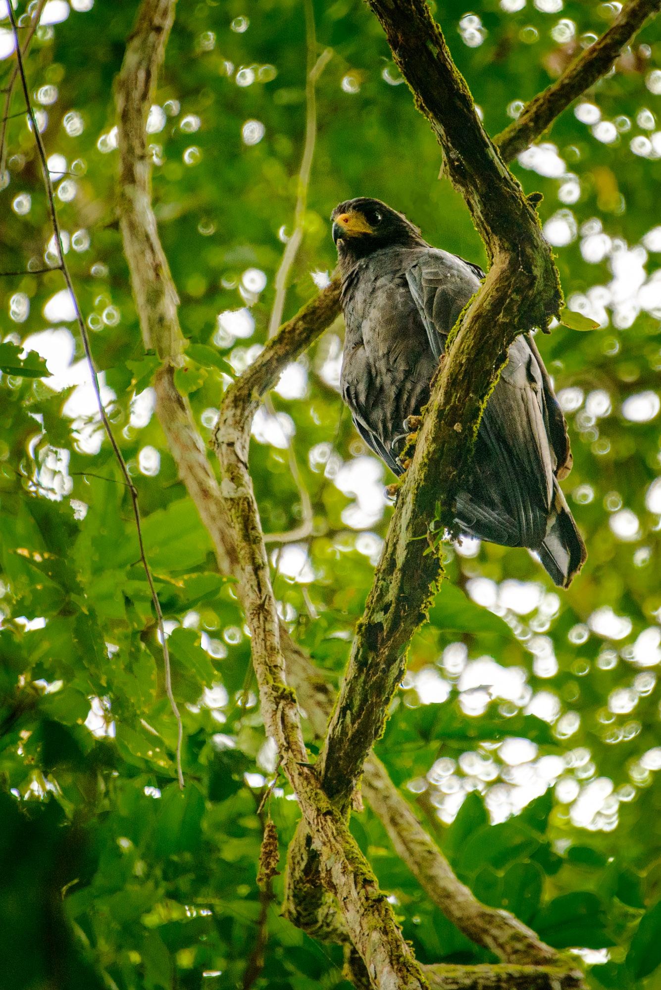 Mangrove Black Hawk  by Steve Director