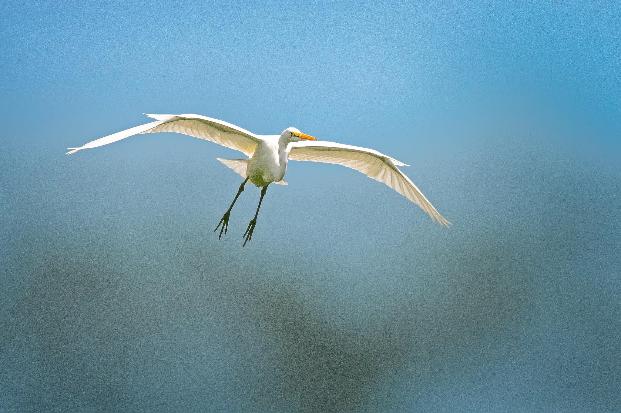 Great Egret in Flight by Steve Director