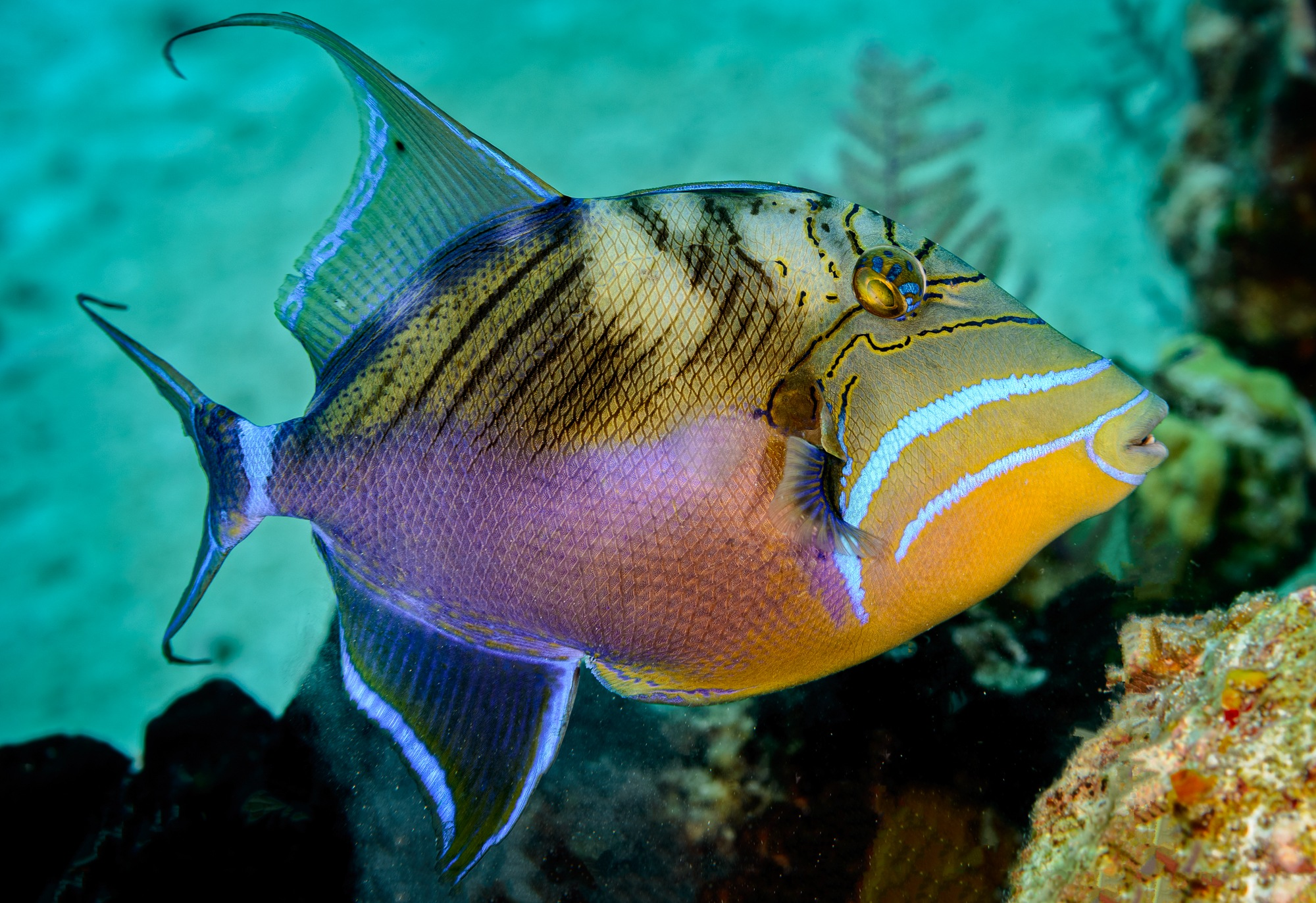 Queen Triggerfish by Steve Director