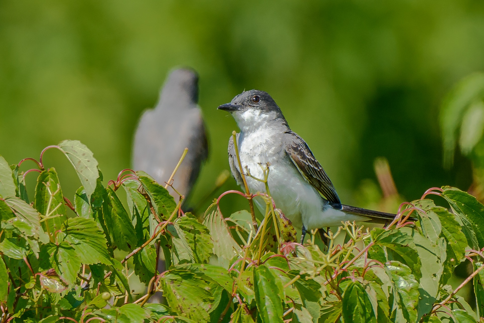 Eastern Kingbird by Steve Director