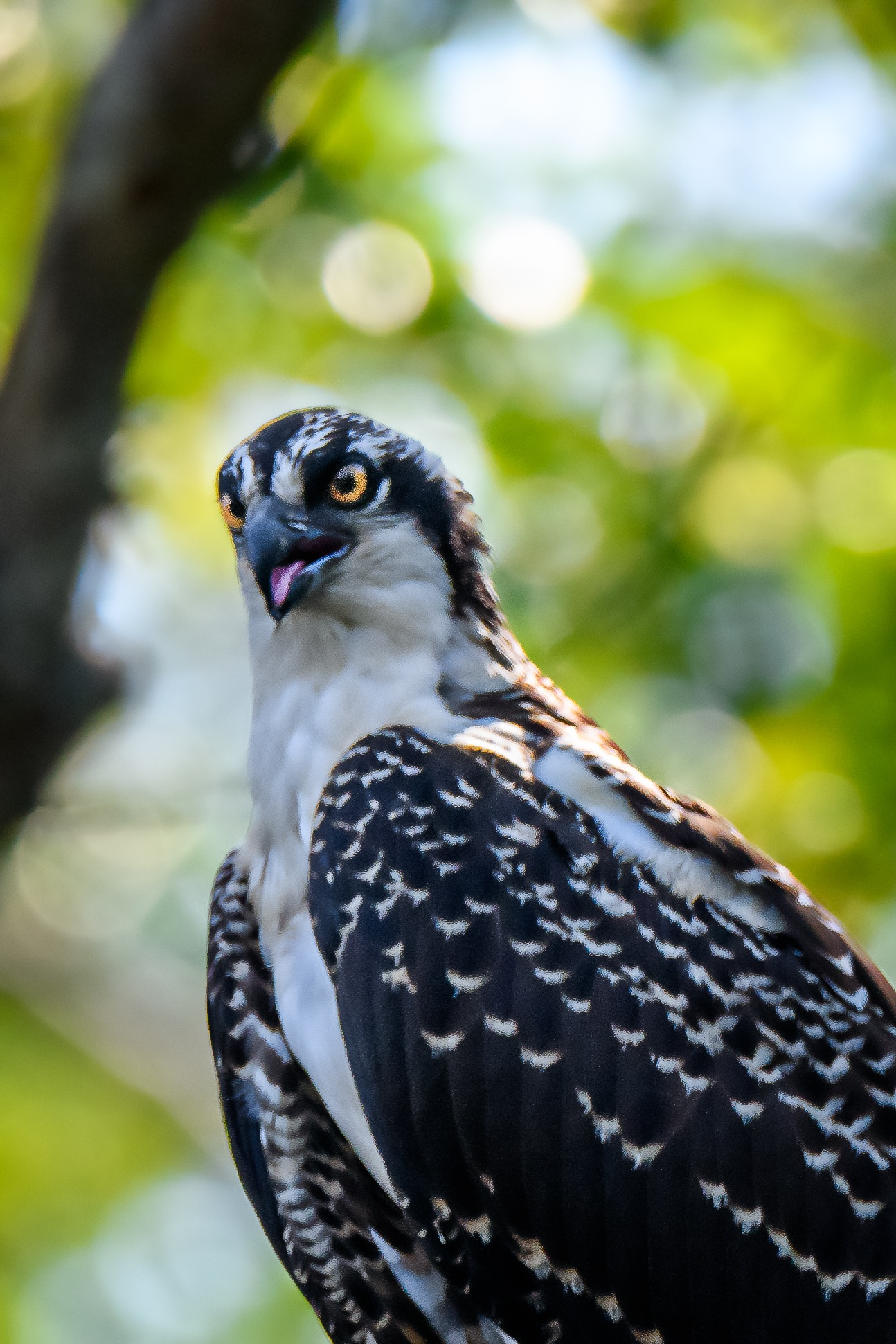Osprey - A Portrait by Steve Director