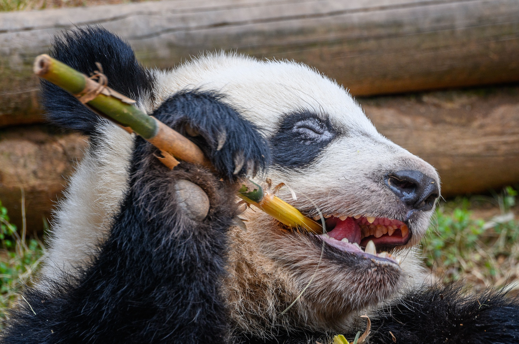 Lunchtime for a Giant Panda by Steve Director