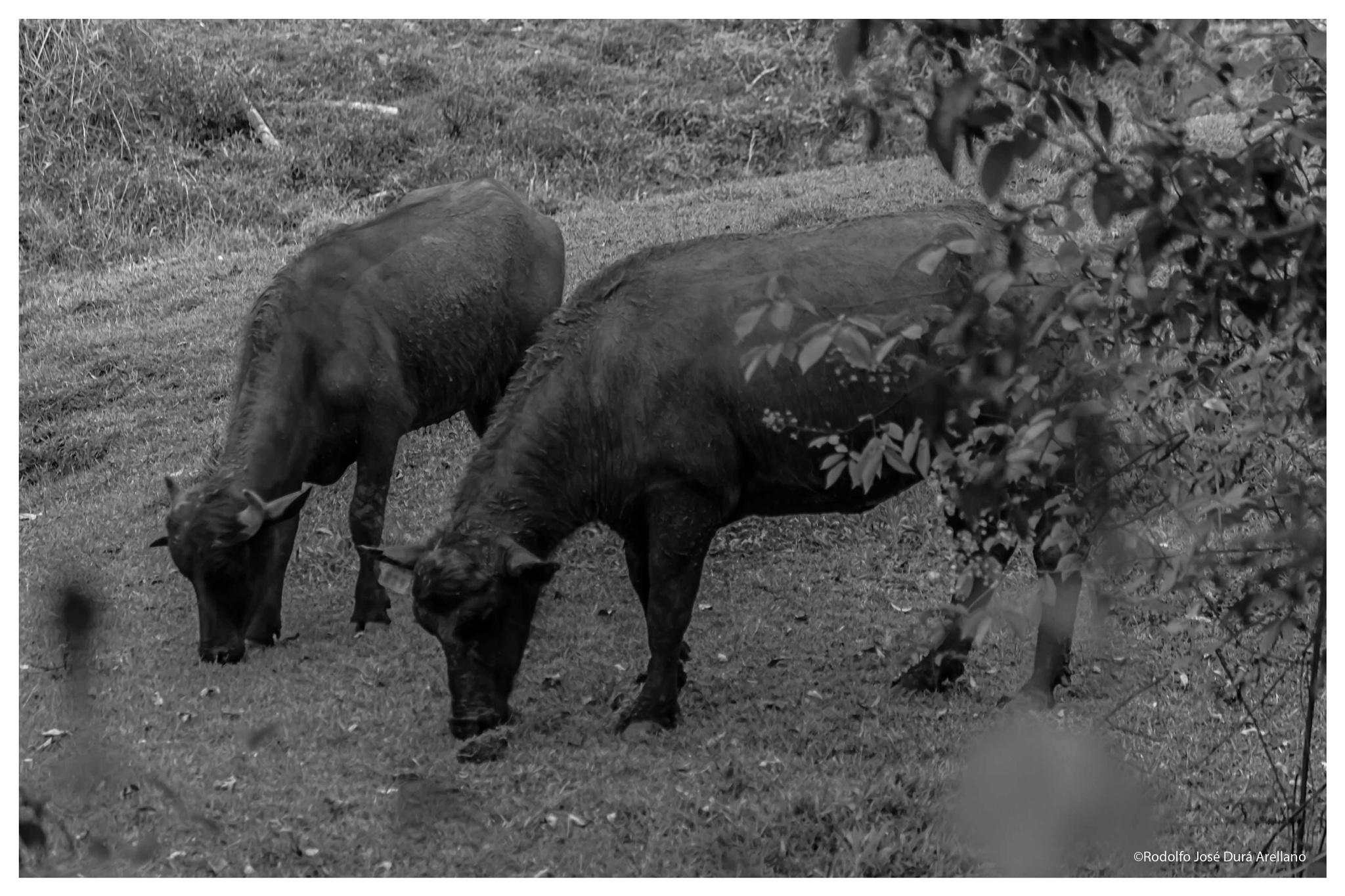 bufalos.... by Rodolfo José Durán Arellano