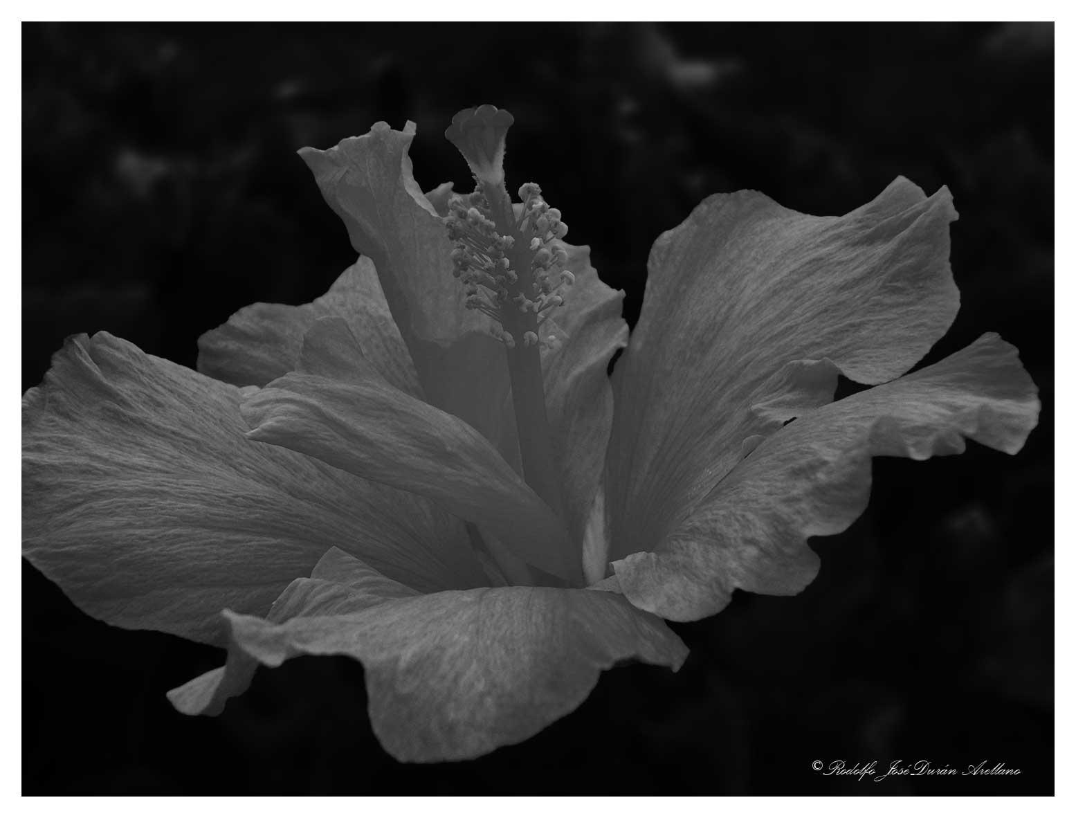 hibiscus...... by Rodolfo José Durán Arellano