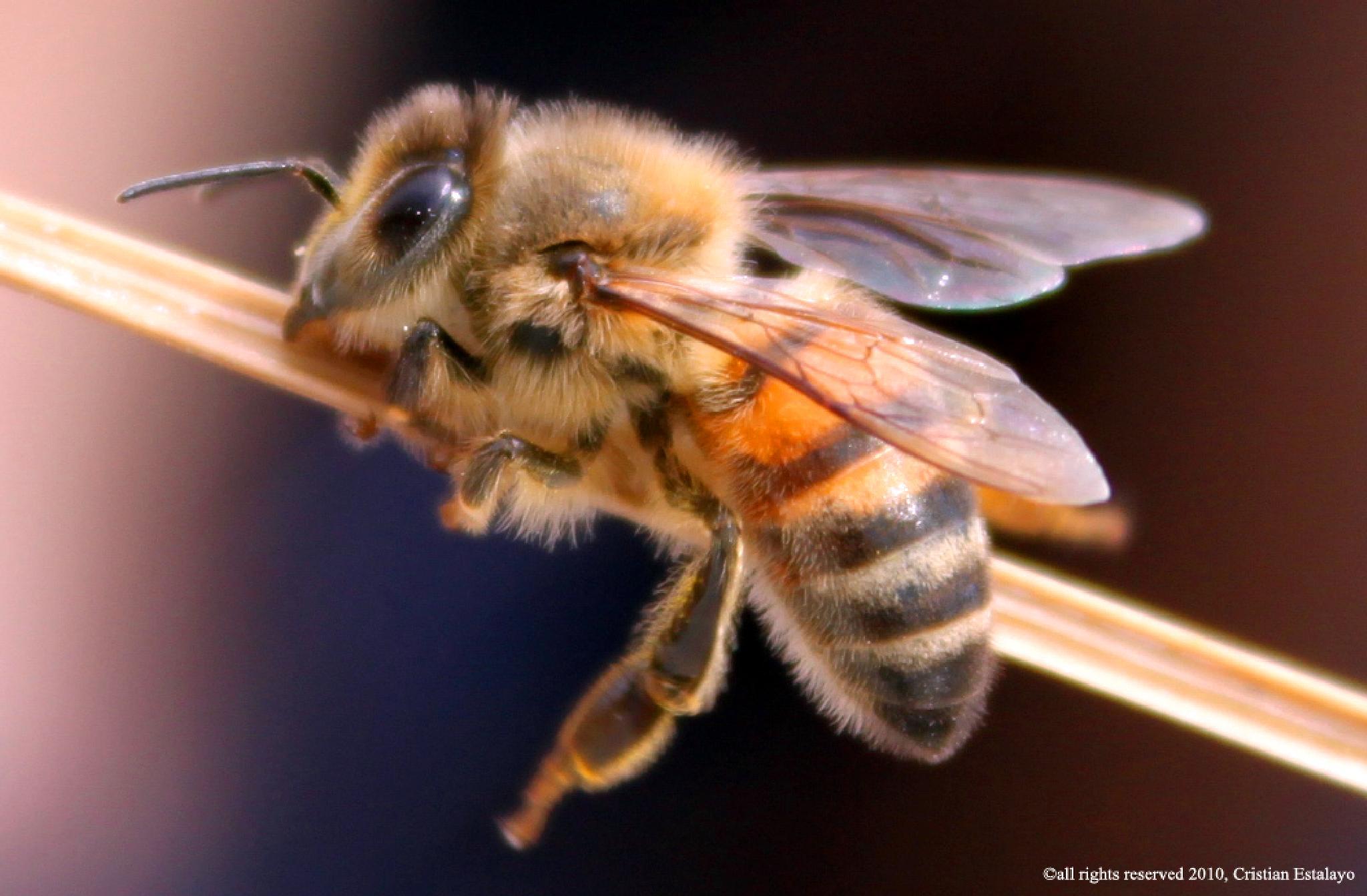 The Bee by Cris Estalayo