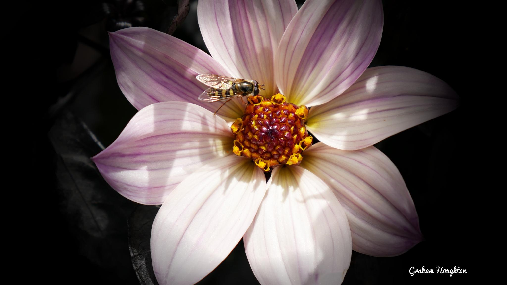 Hover fly in dappled shade by Graham Houghton